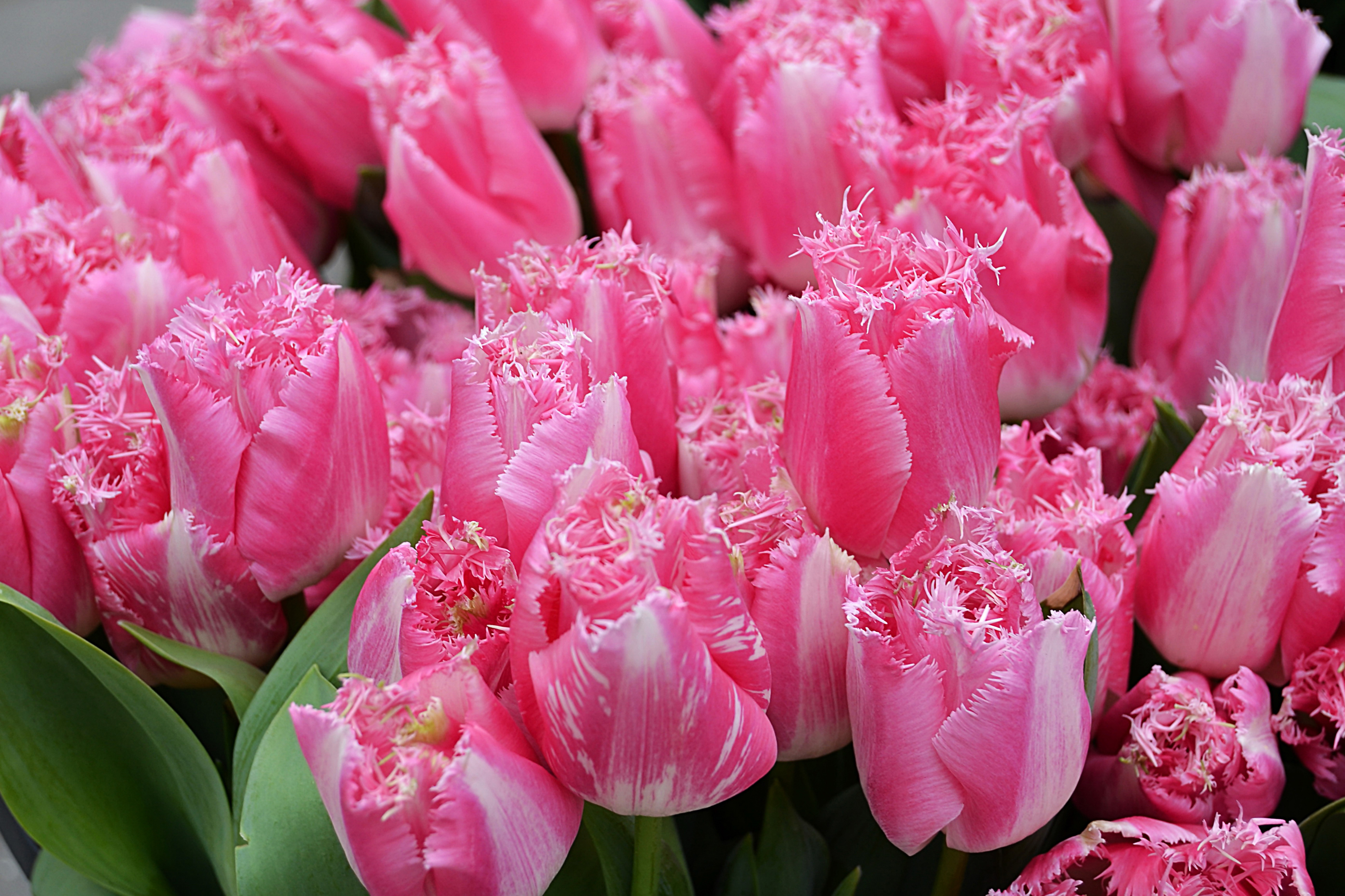 tulip-photo-67