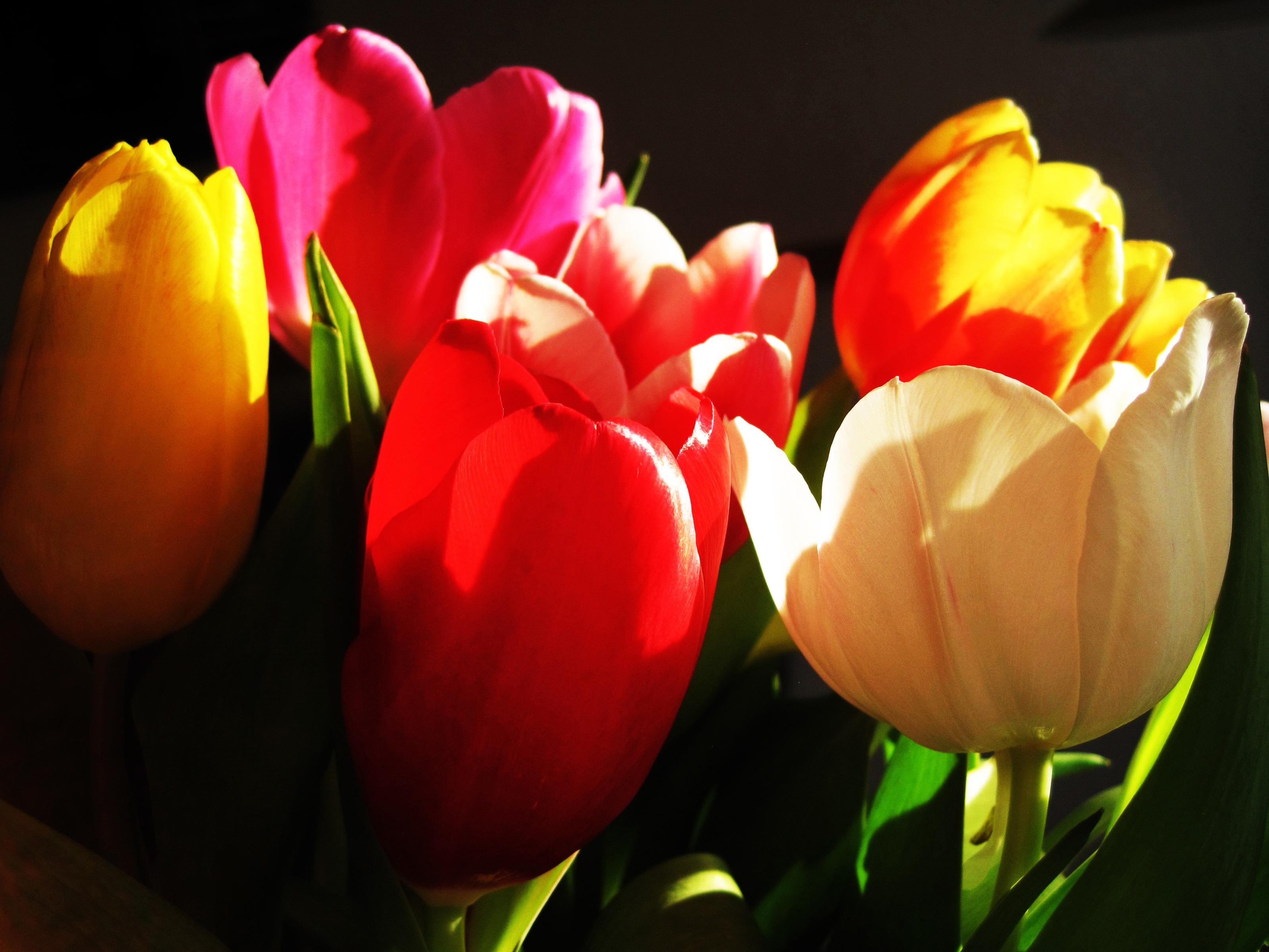 tulip-photo-68