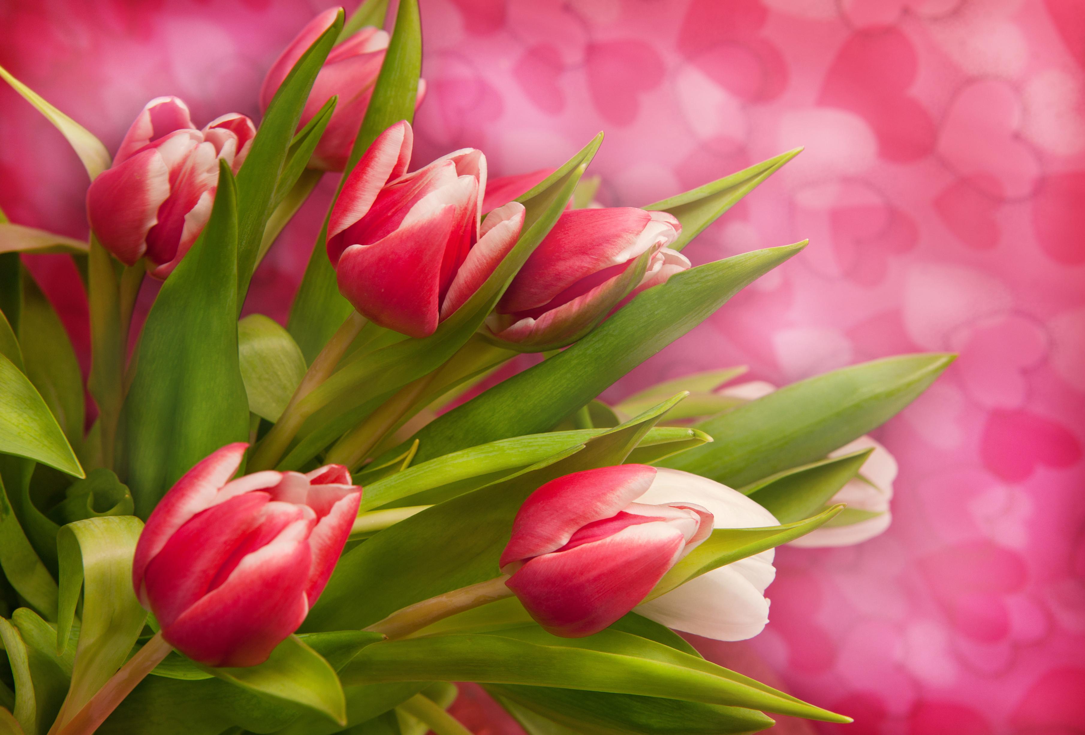 tulip-photo-7