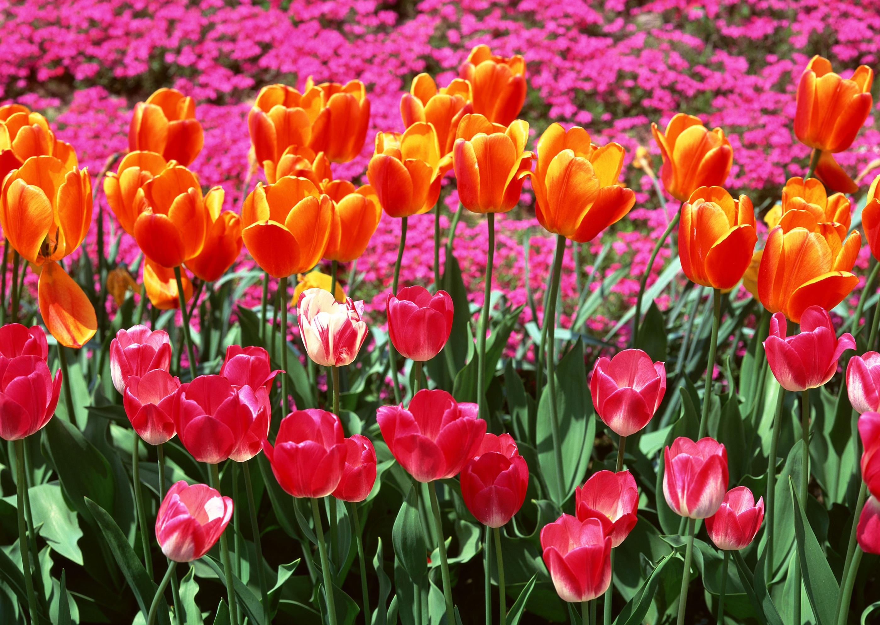 tulip-photo-70