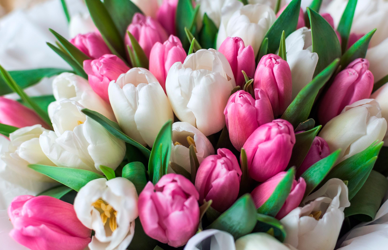 tulip-photo-71