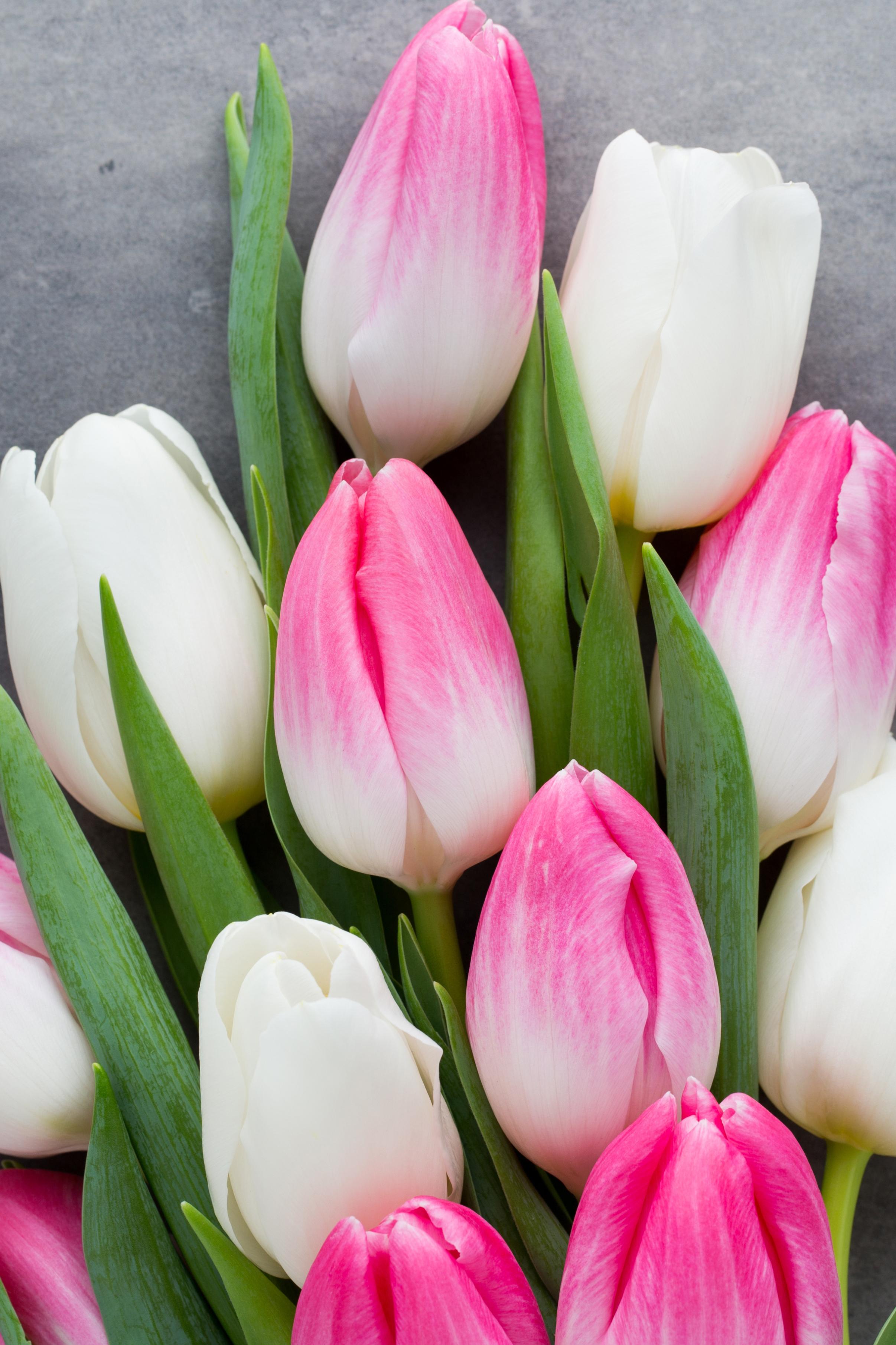 tulip-photo-73