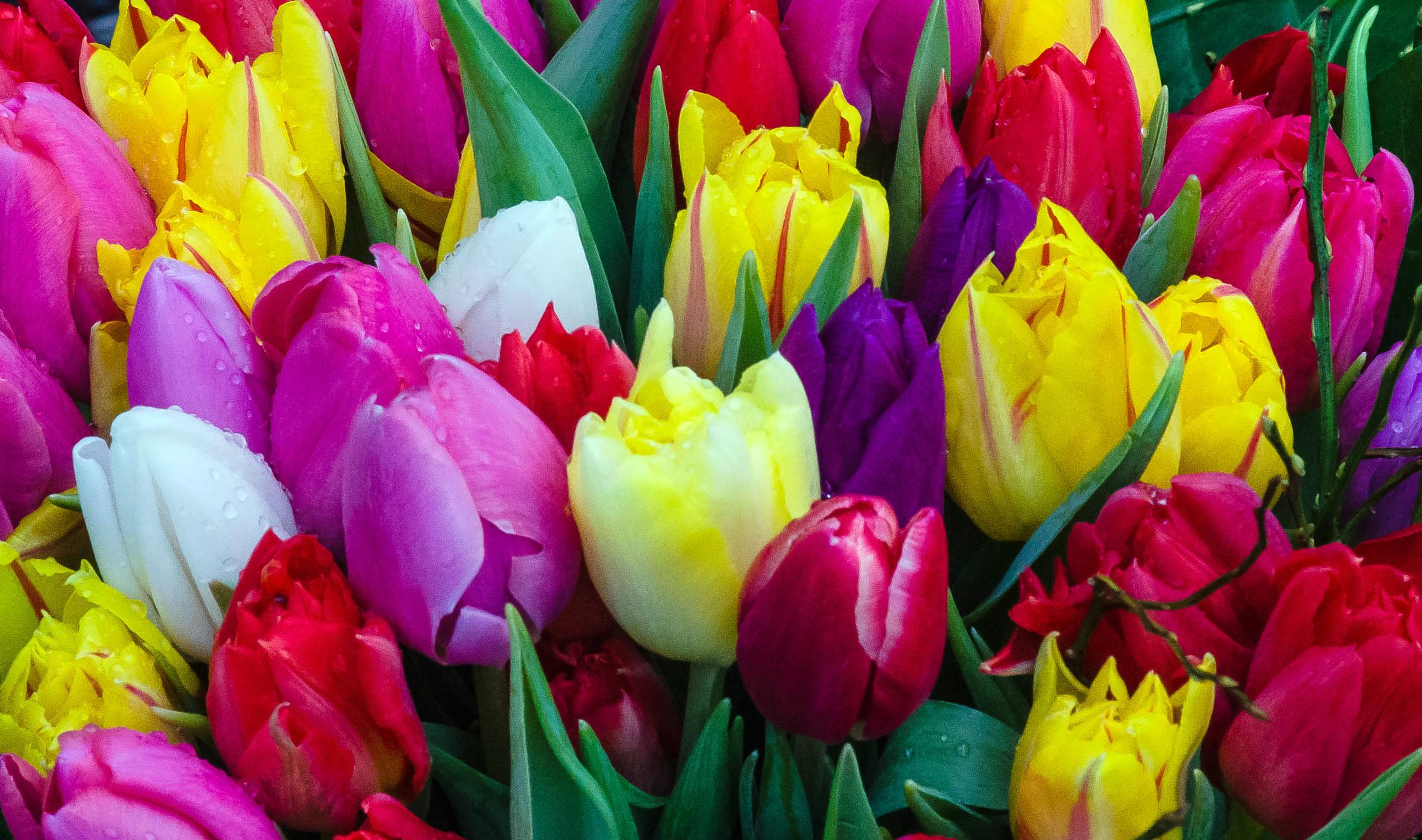 tulip-photo-75