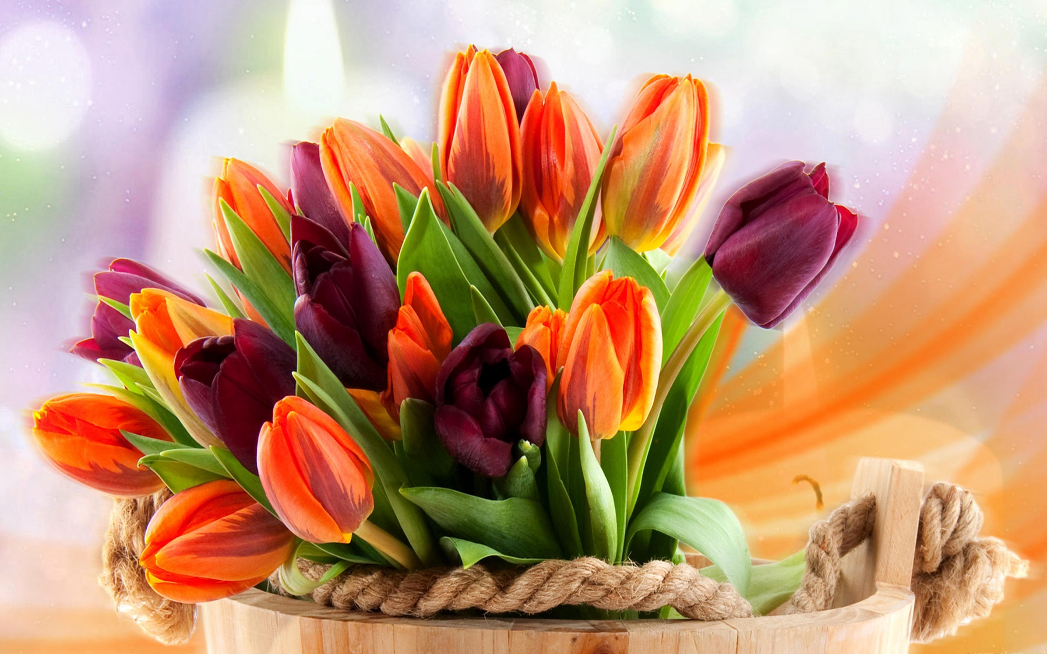 tulip-photo-76