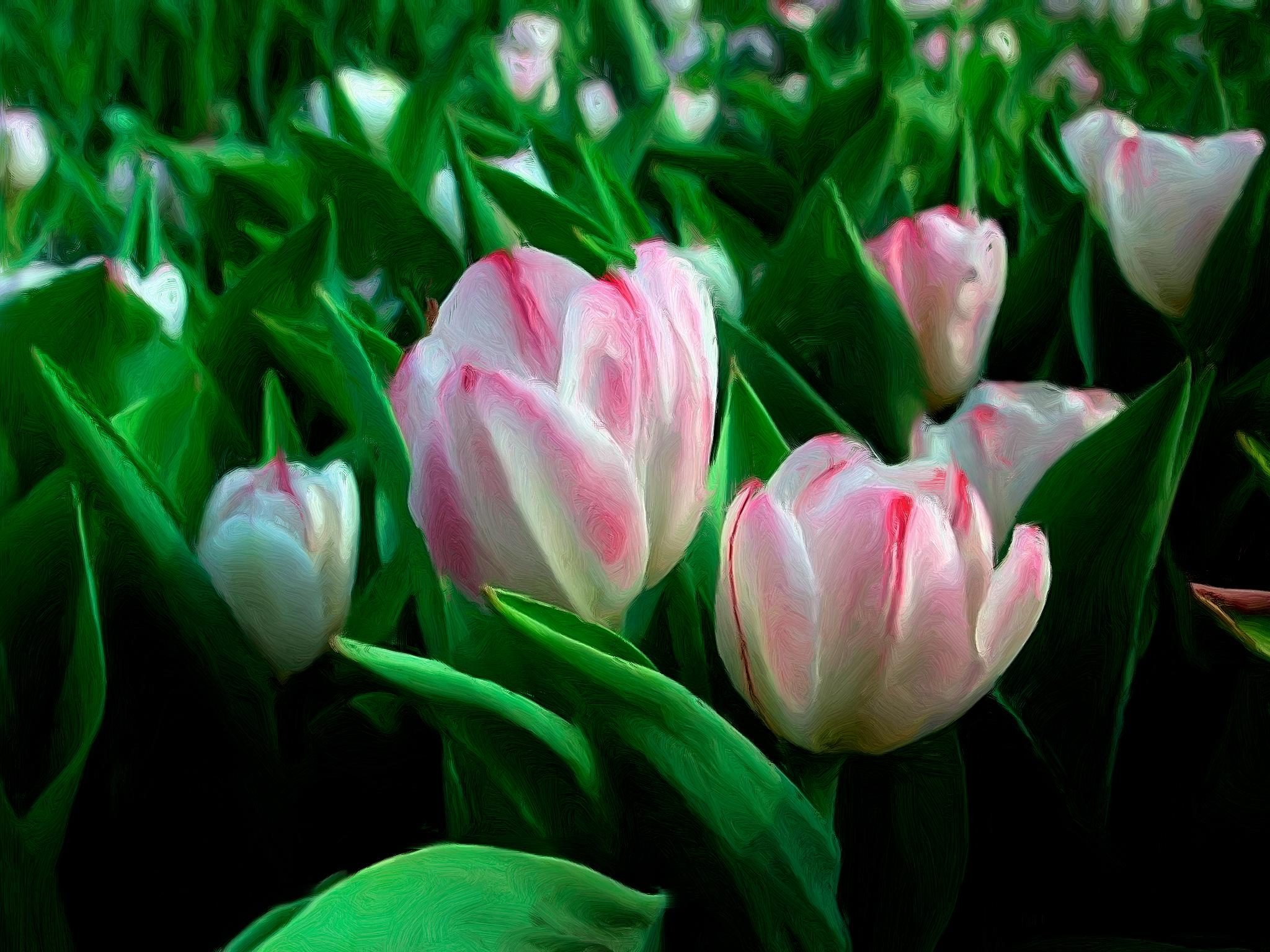tulip-photo-77