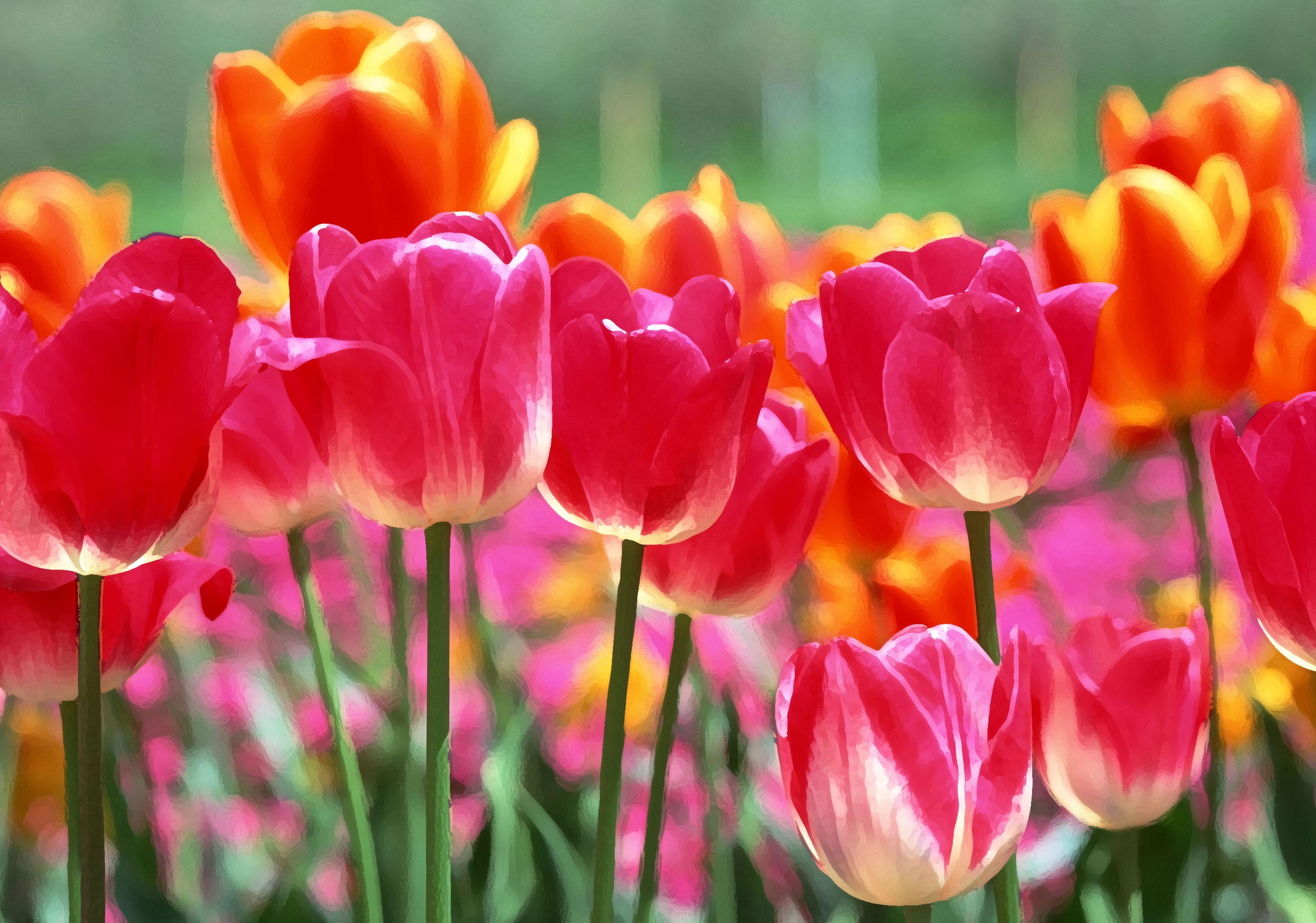 tulip-photo-78