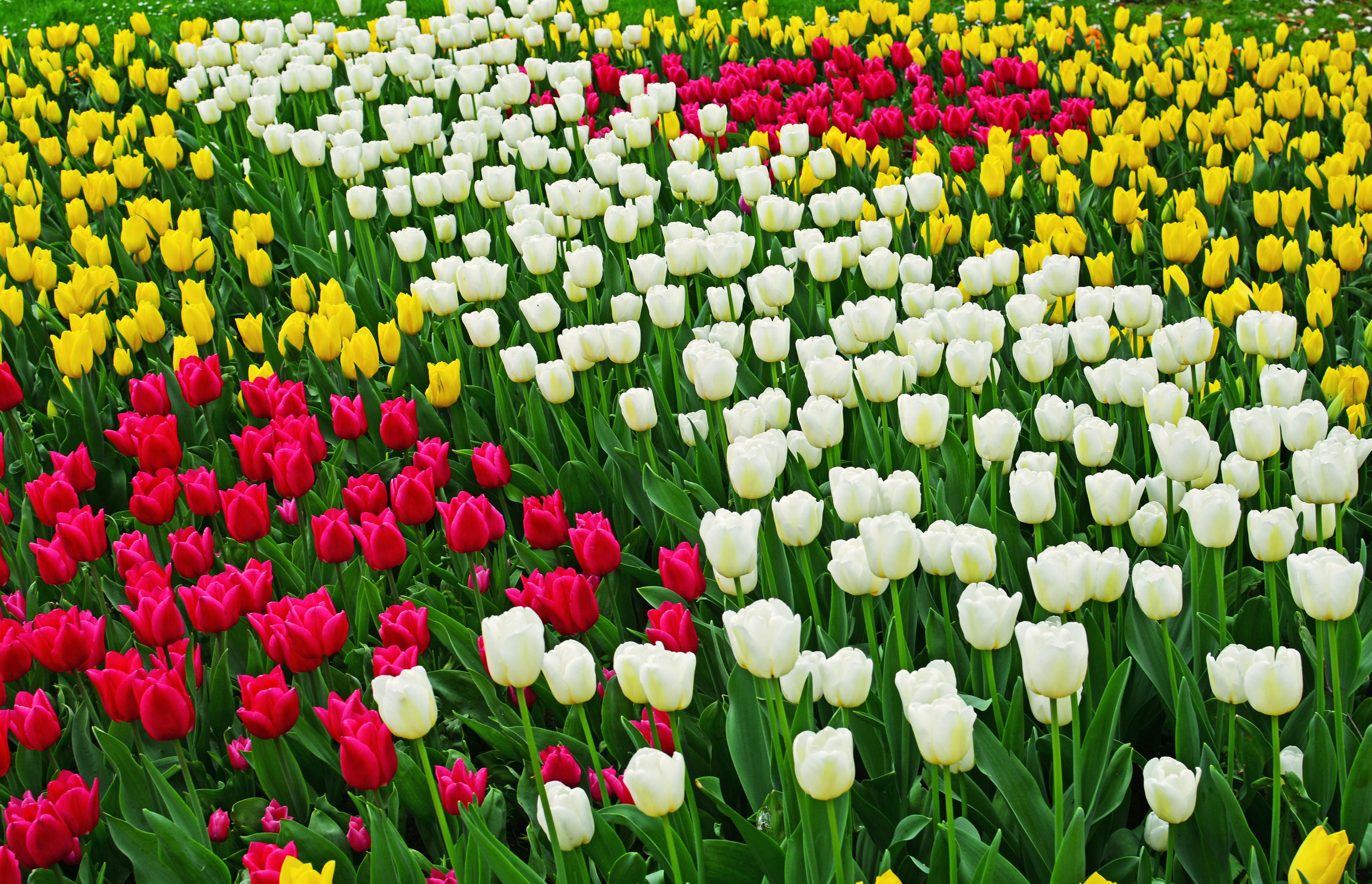 tulip-photo-8