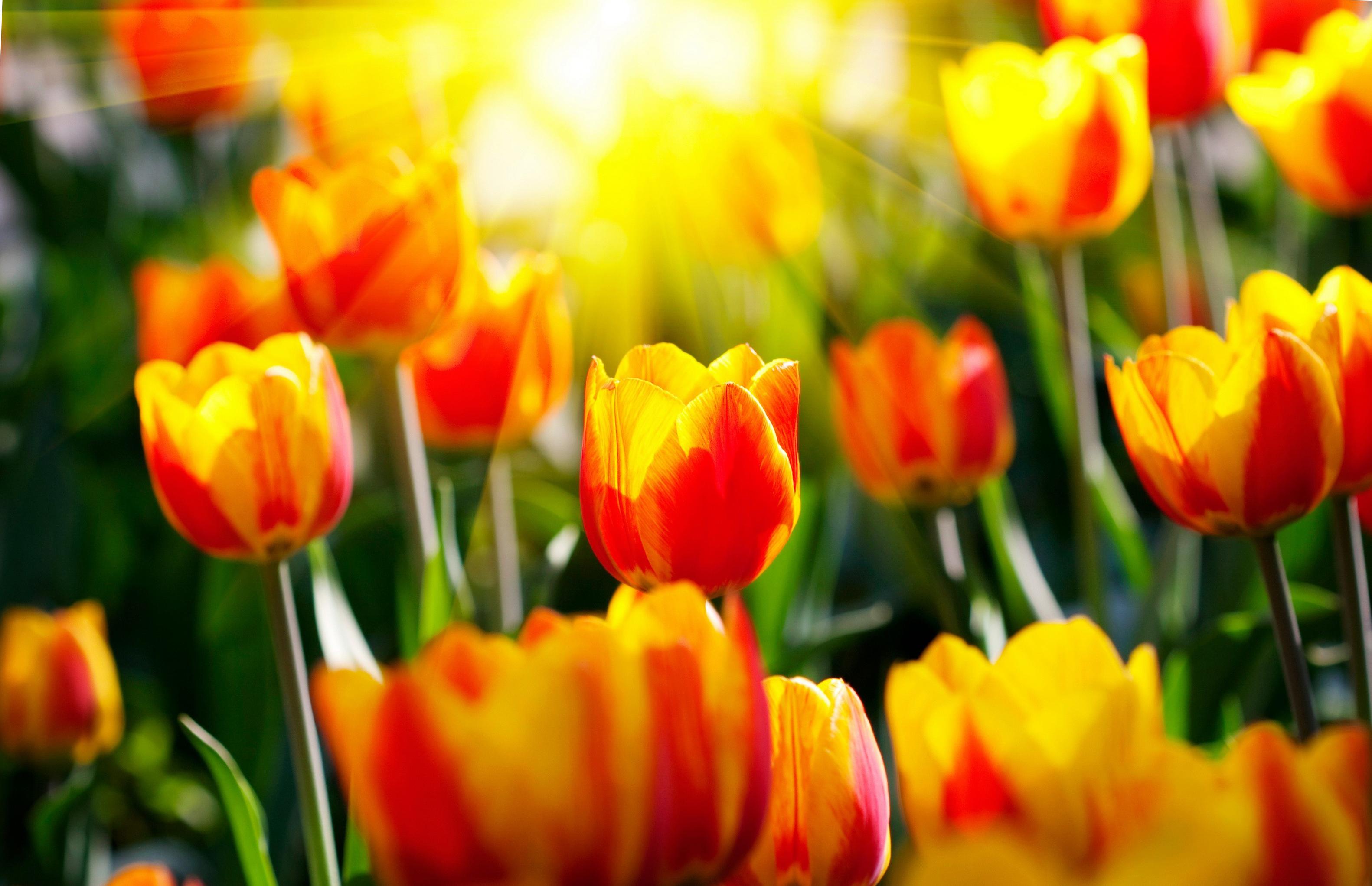 tulip-photo-80