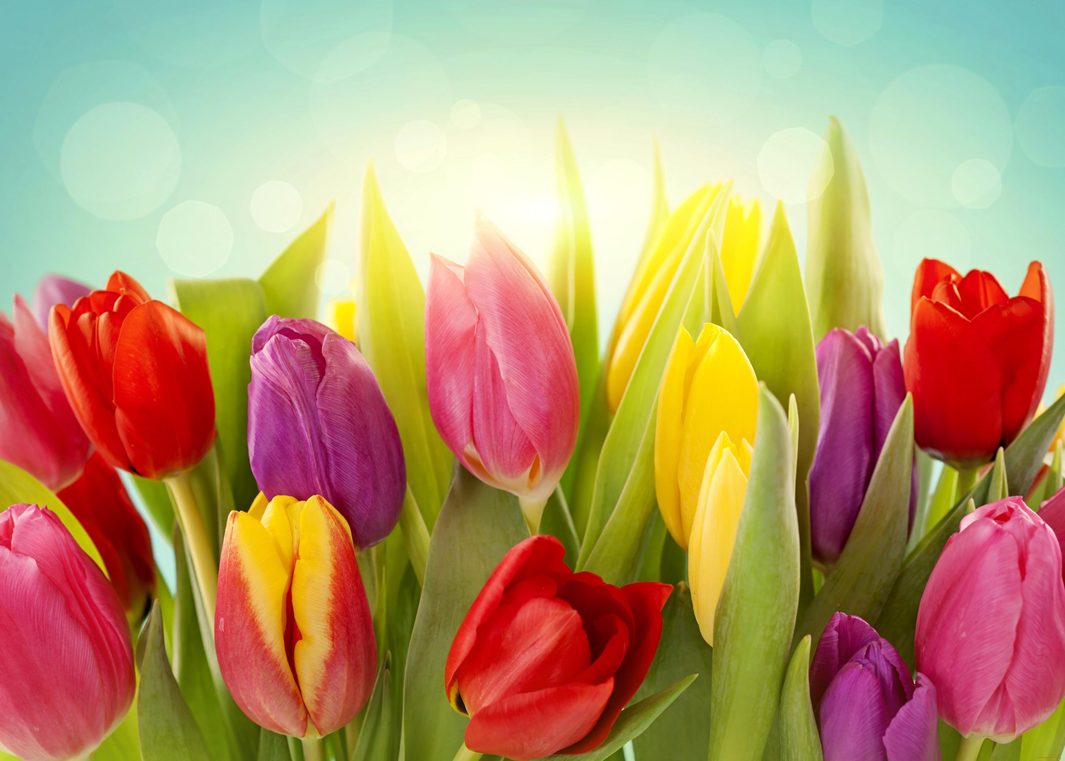 tulip-photo-81