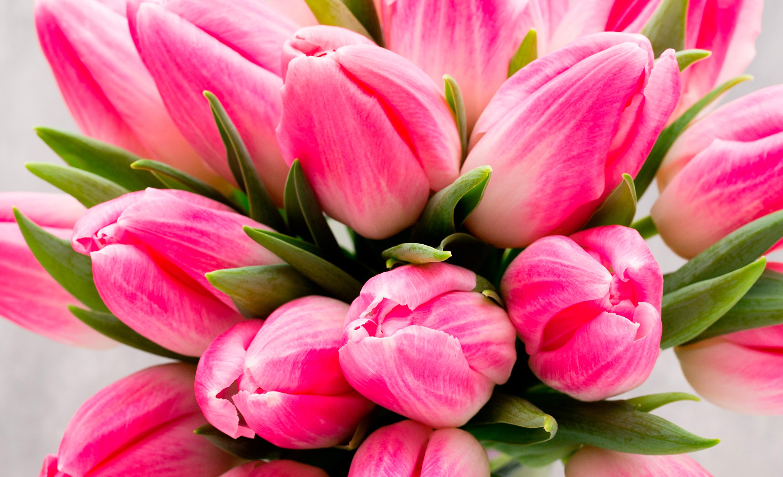 tulip-photo-82