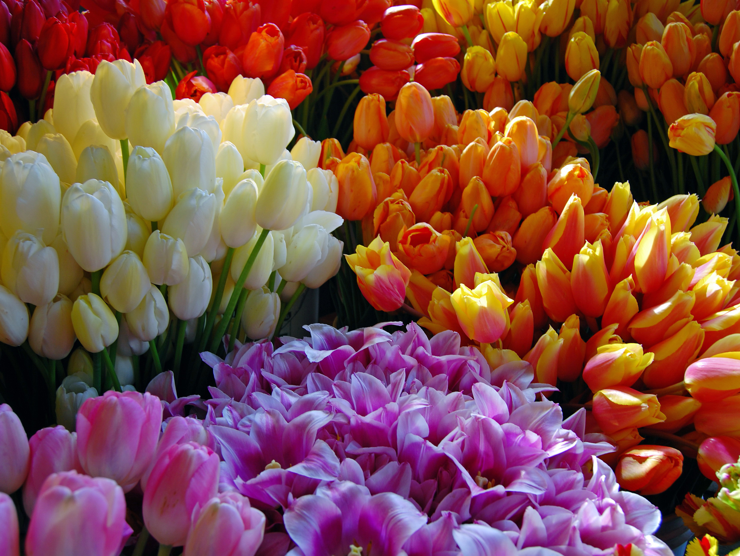 tulip-photo-83