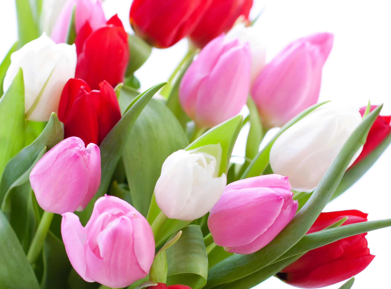 tulip-photo-84
