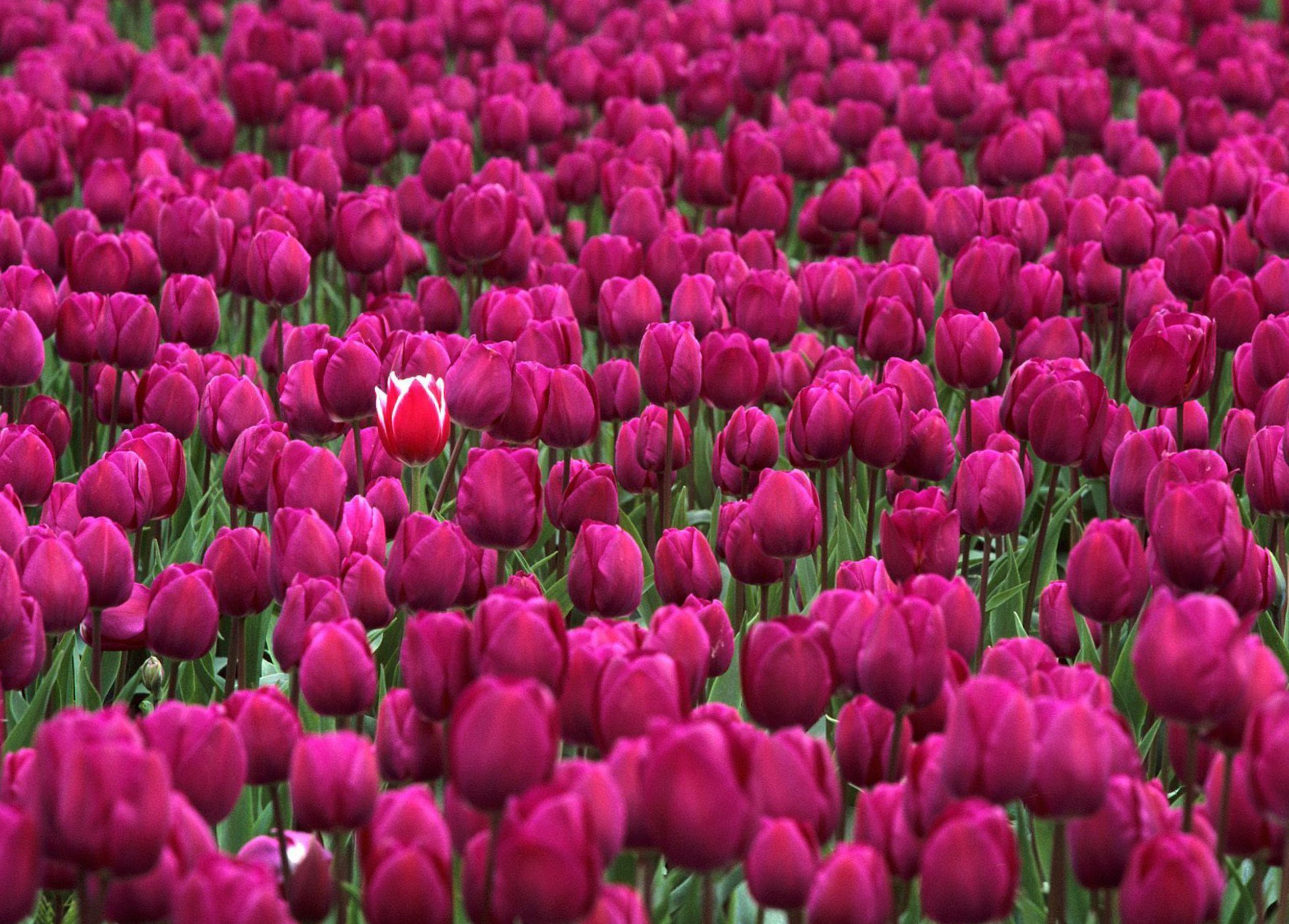 tulip-photo-85