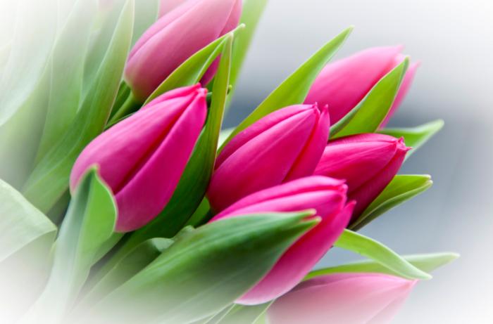 Fotos de hermosos tulipanes - 200 mejores imágenes gratis de estas flores