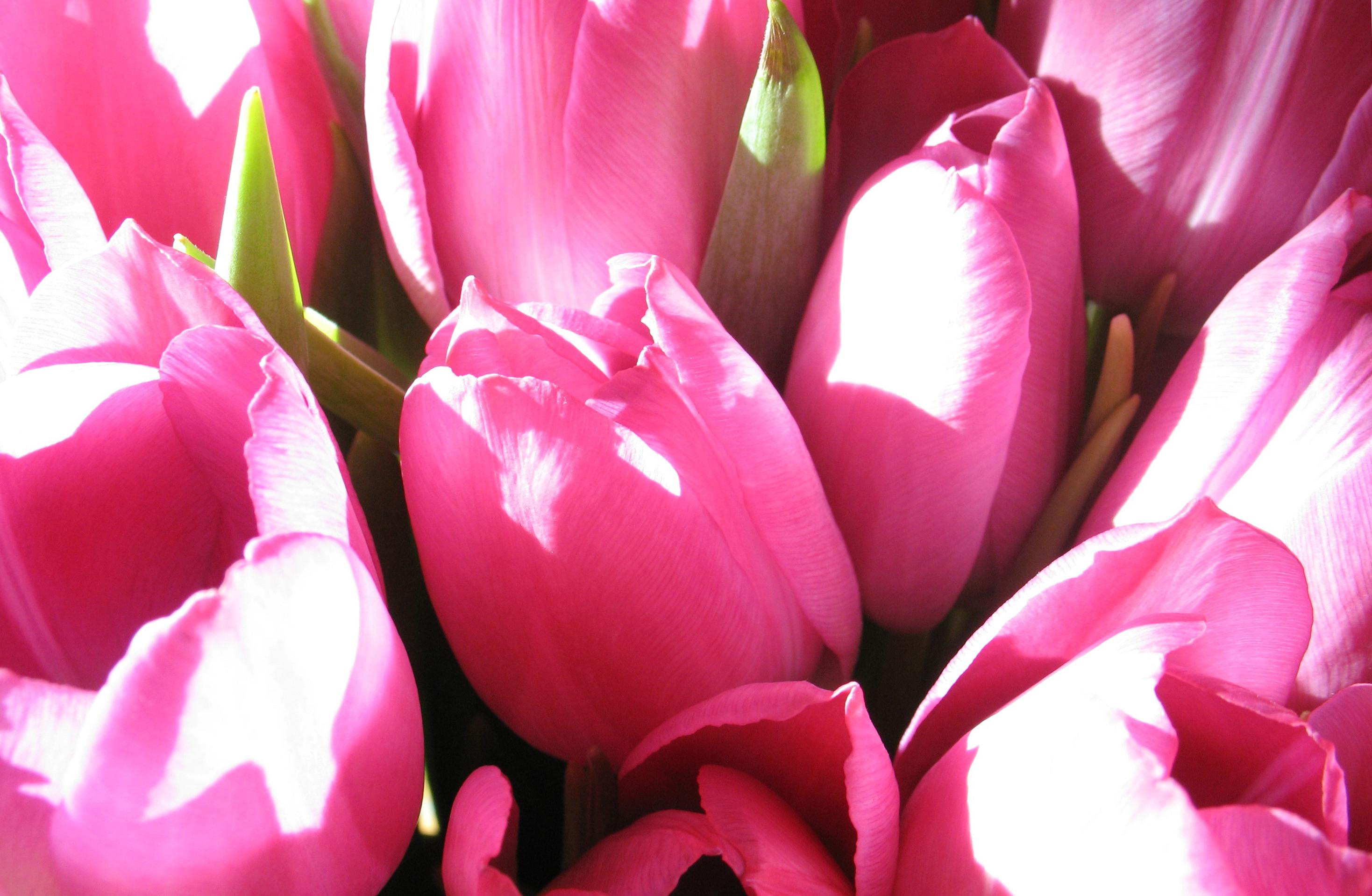 tulip-photo-87
