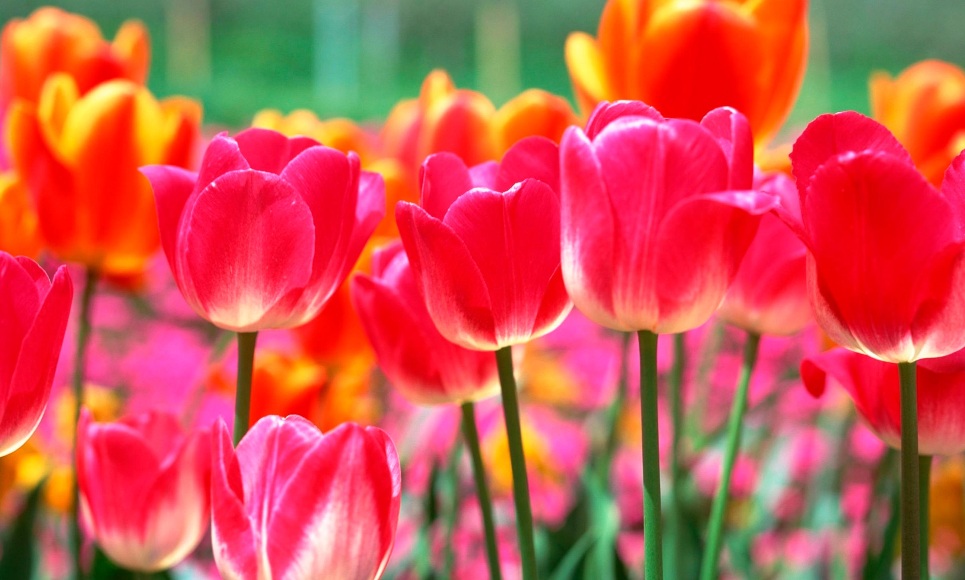 tulip-photo-89