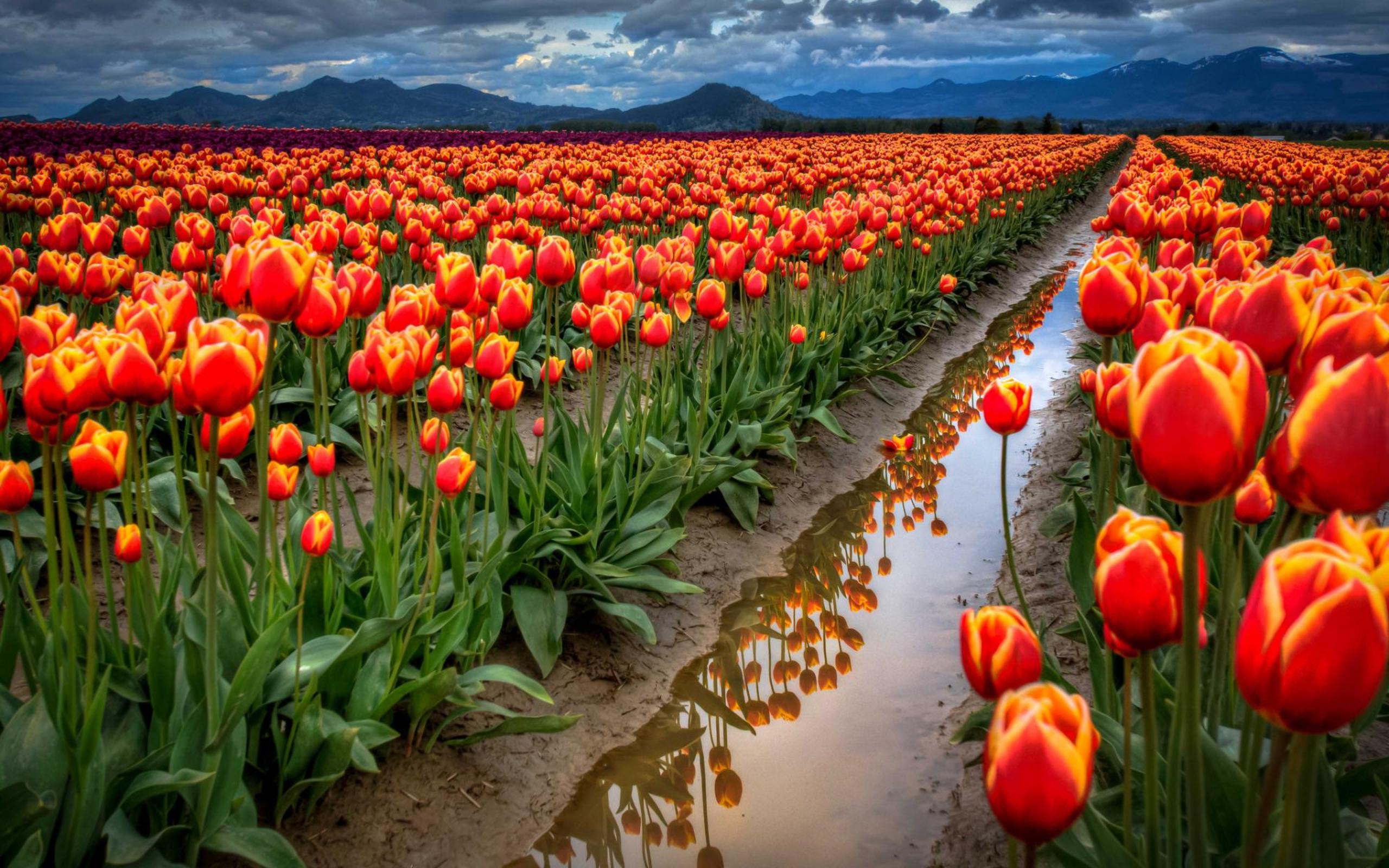 tulip-photo-90