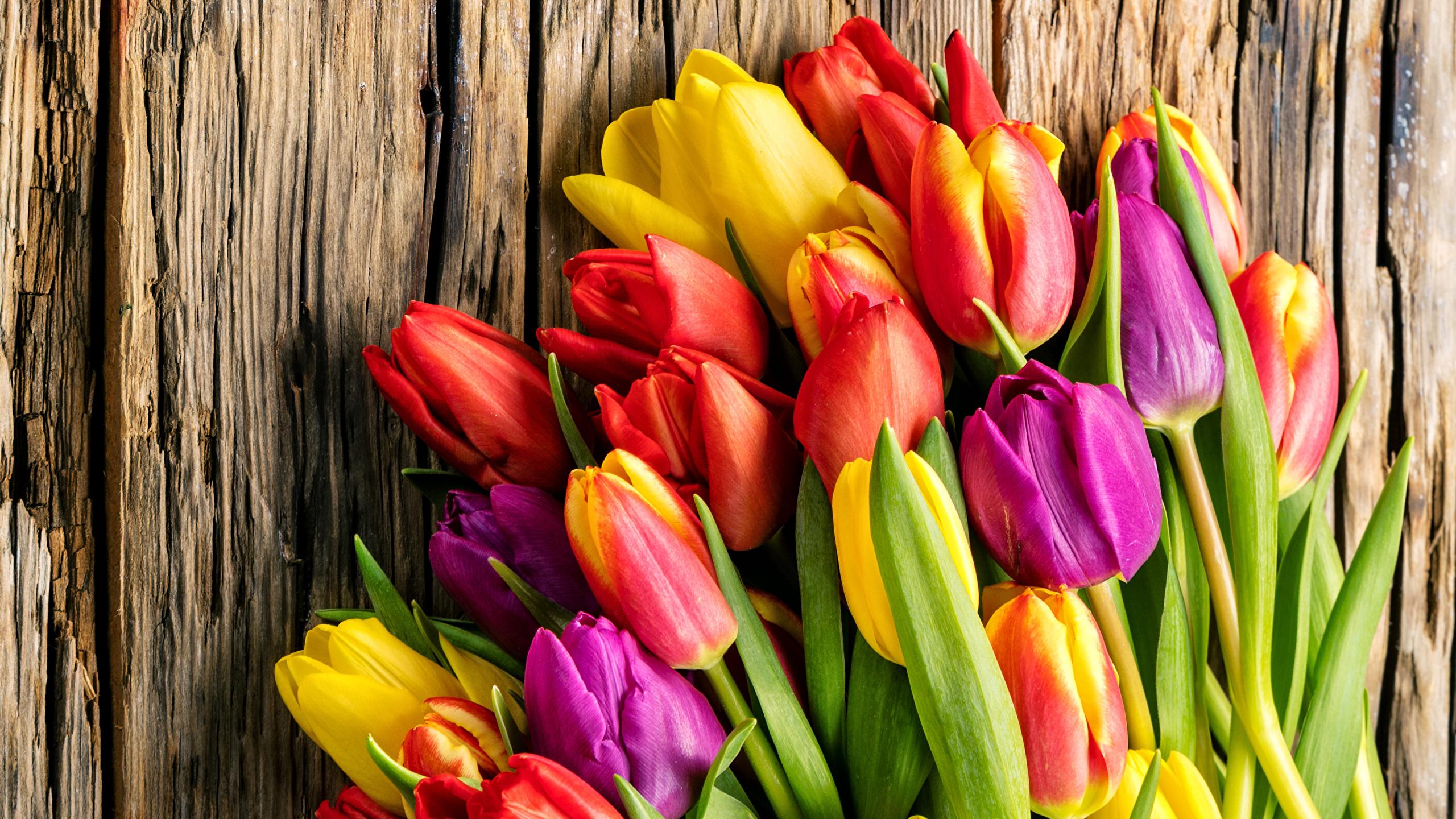 tulip-photo-92