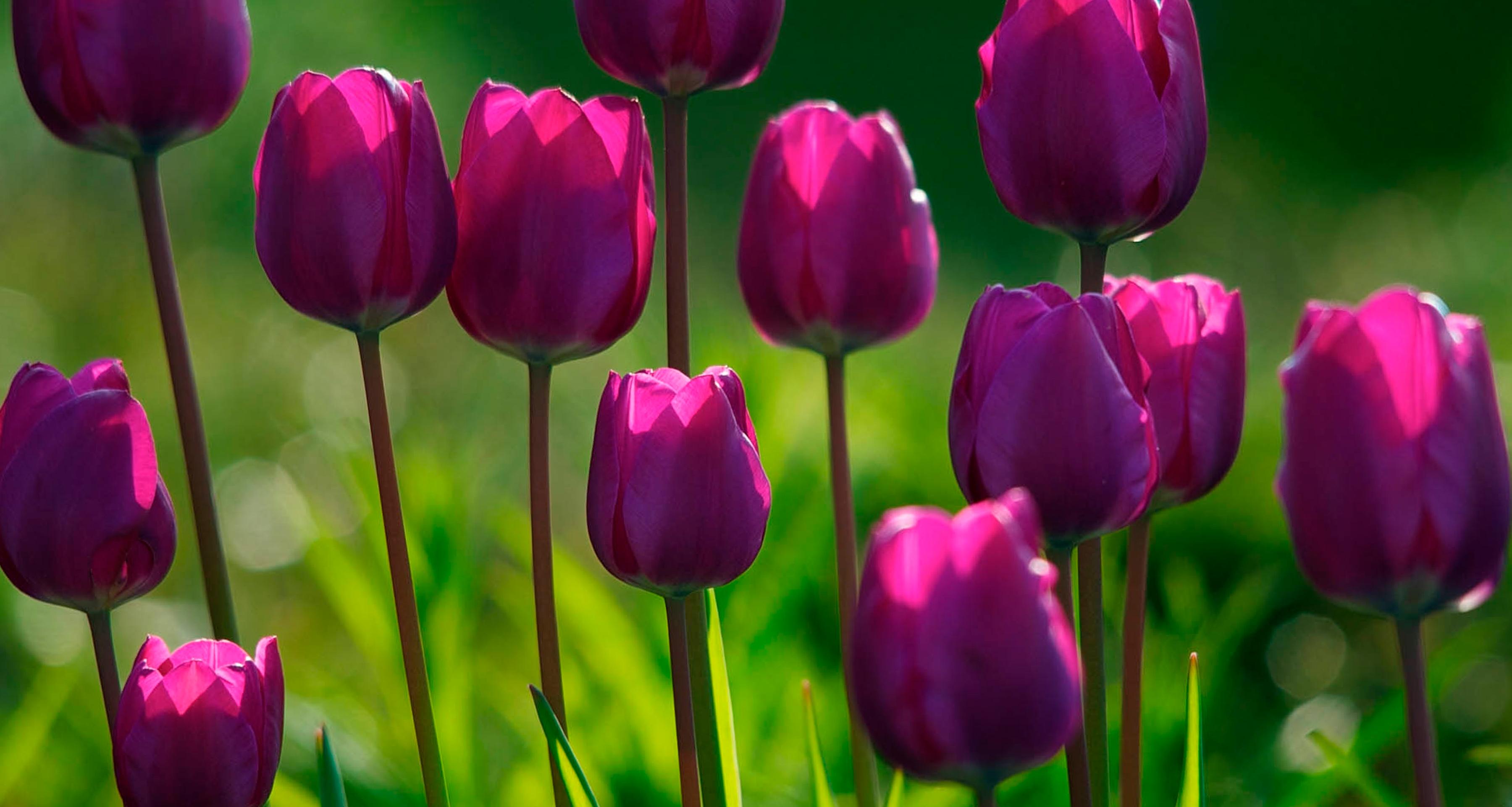 tulip-photo-94