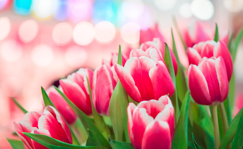 tulip-photo-95