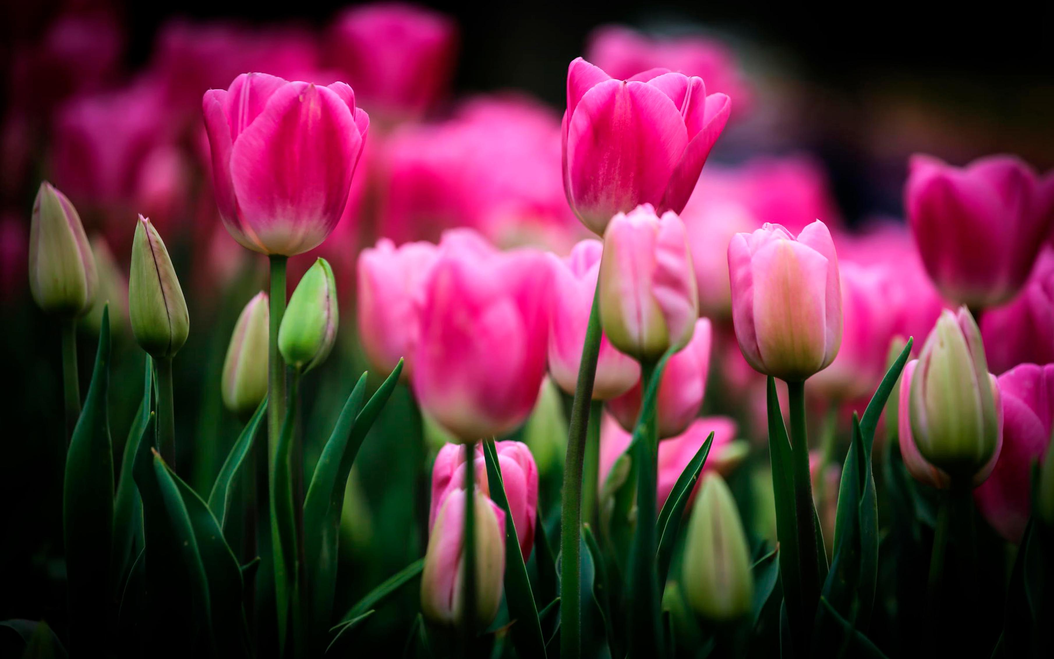 tulip-photo-98