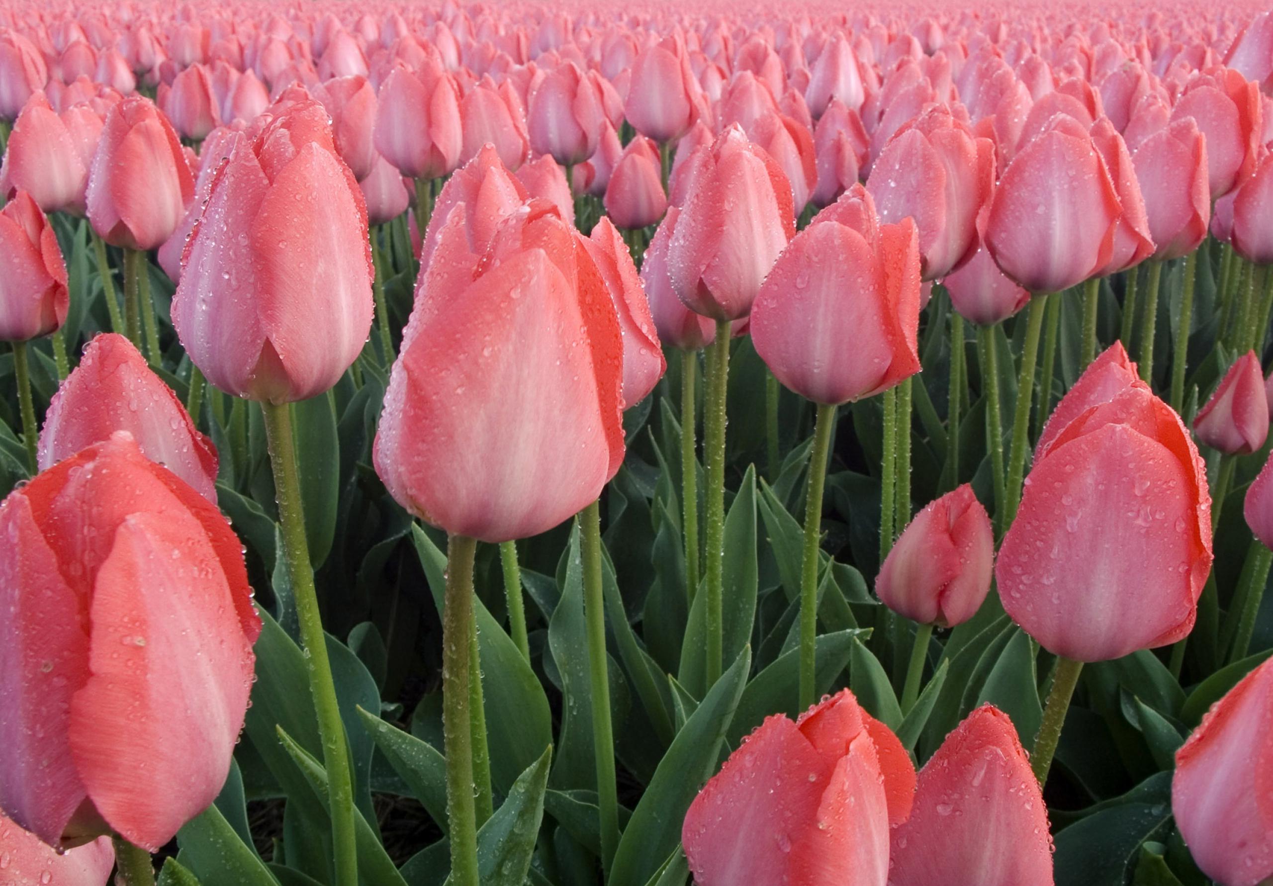 tulip-photo-99