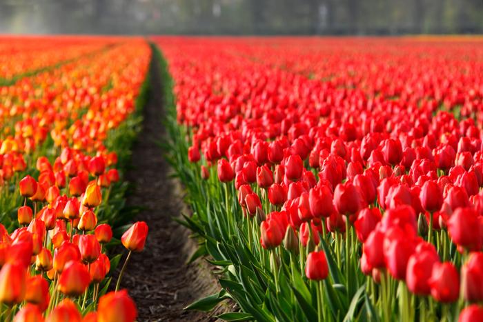 美しいチューリップの写真、この花のトップ200無料画像