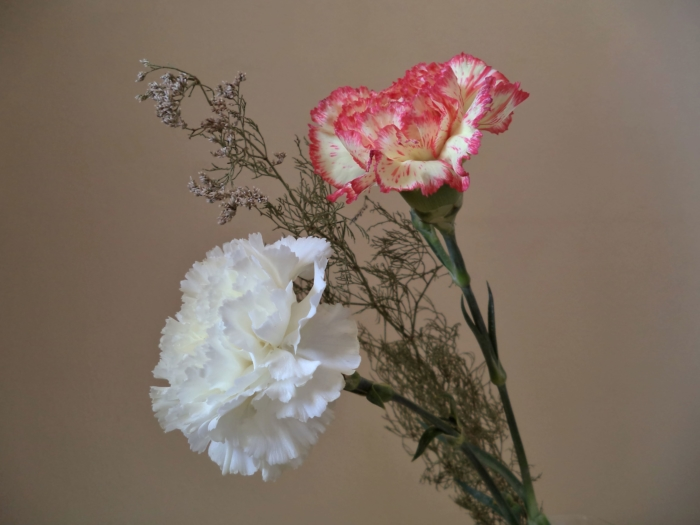 Photos of Beautiful Carnations - 105 Images of These Flowers