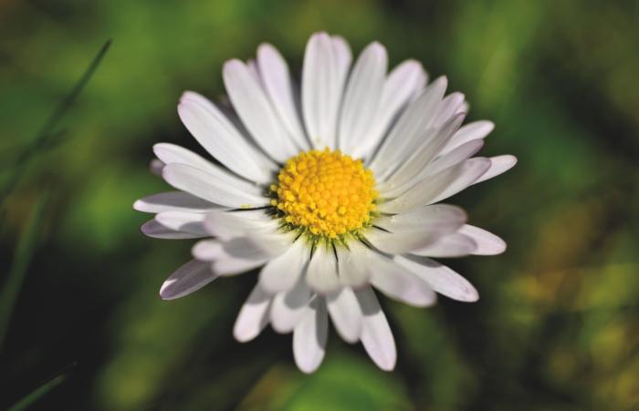 Schöne Fotos von Kamillenblüten - 100 Bilder in hoher Auflösung