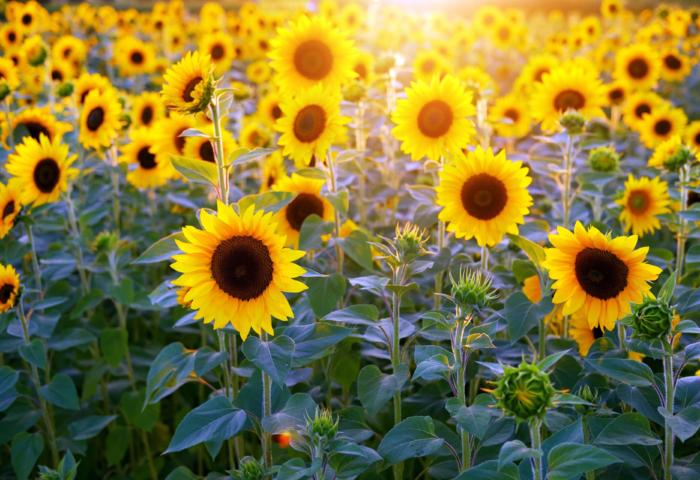 Красивые фото подсолнухов - 100 изображений этих цветов