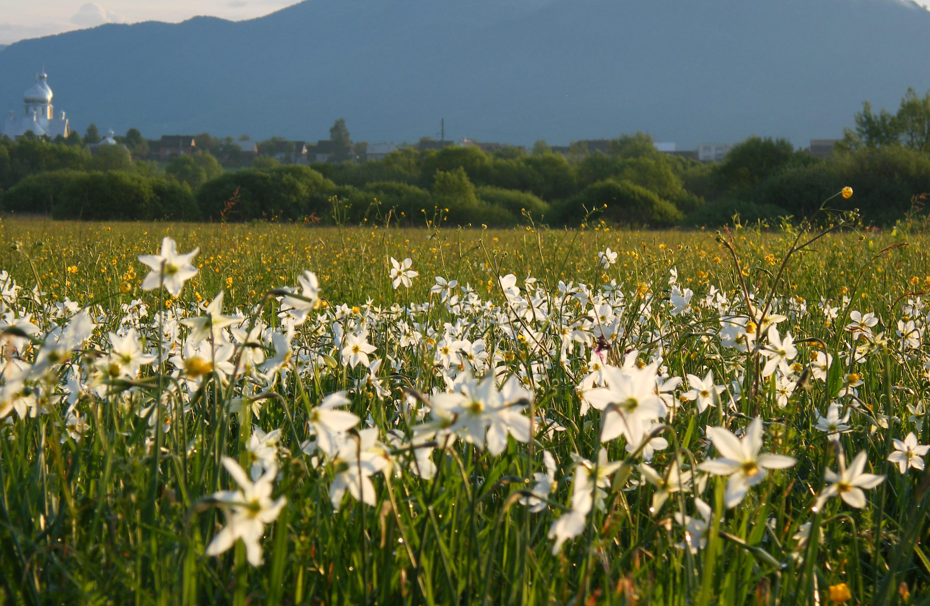 daffodils-photo-1