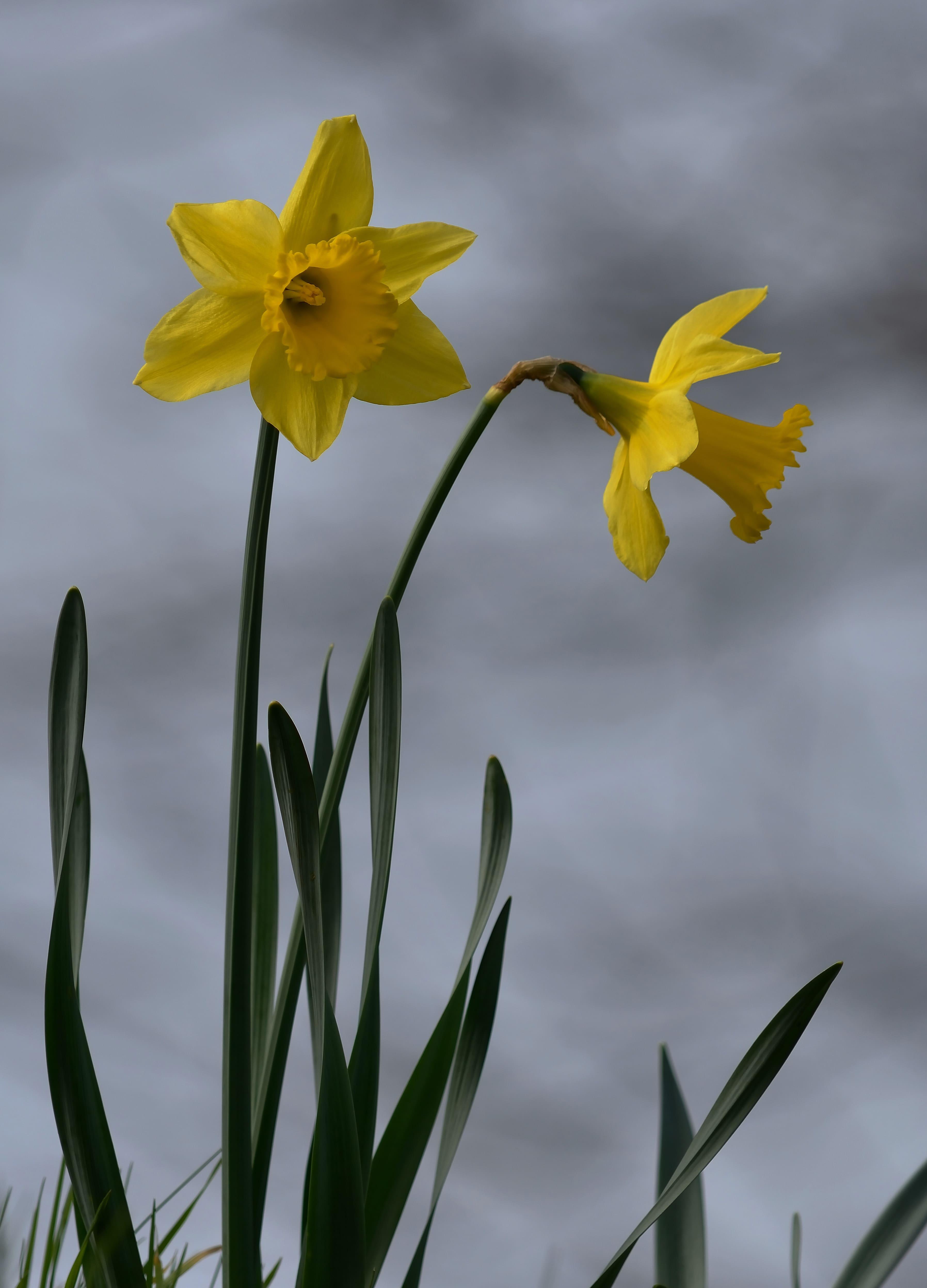 daffodils-photo-10