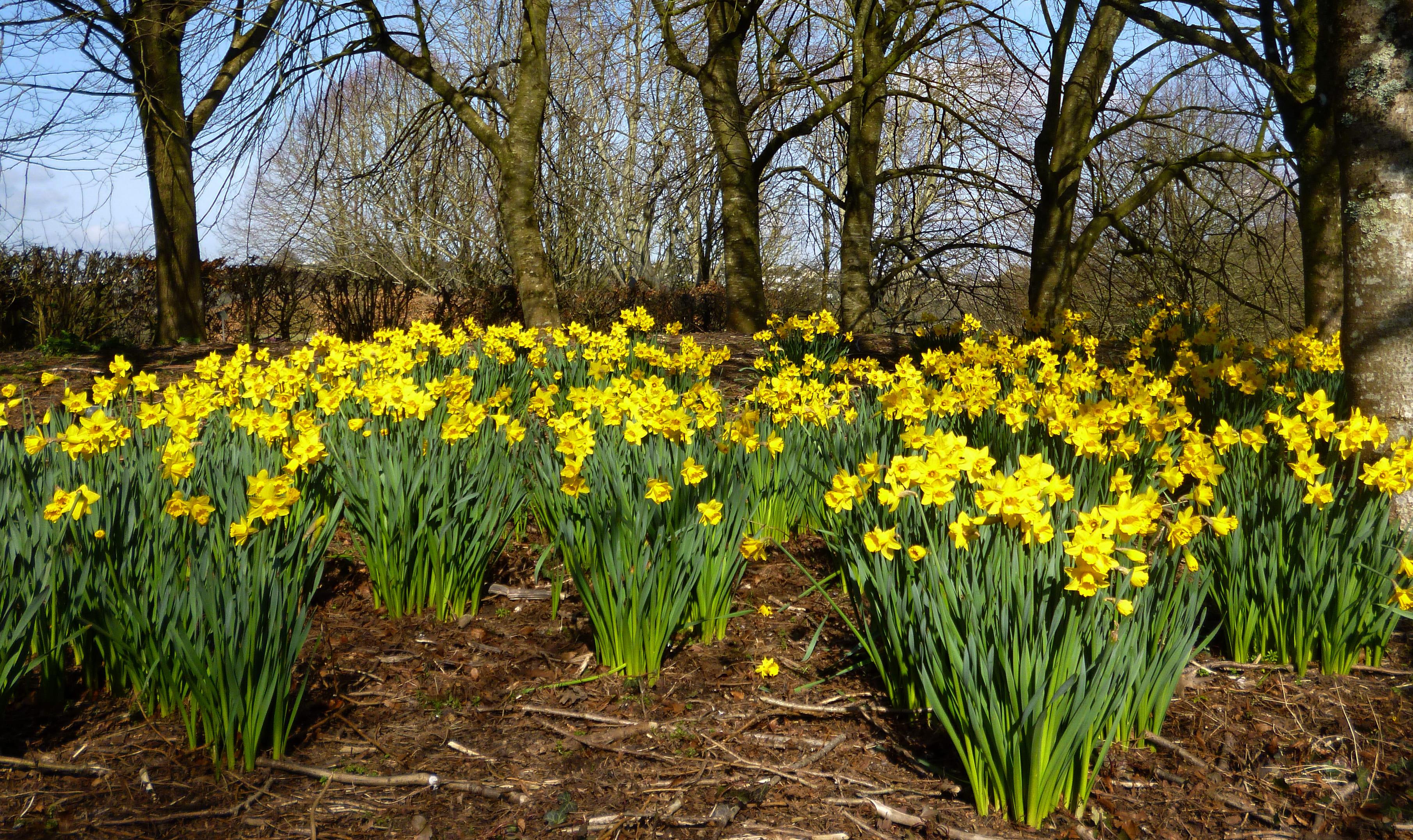 daffodils-photo-100