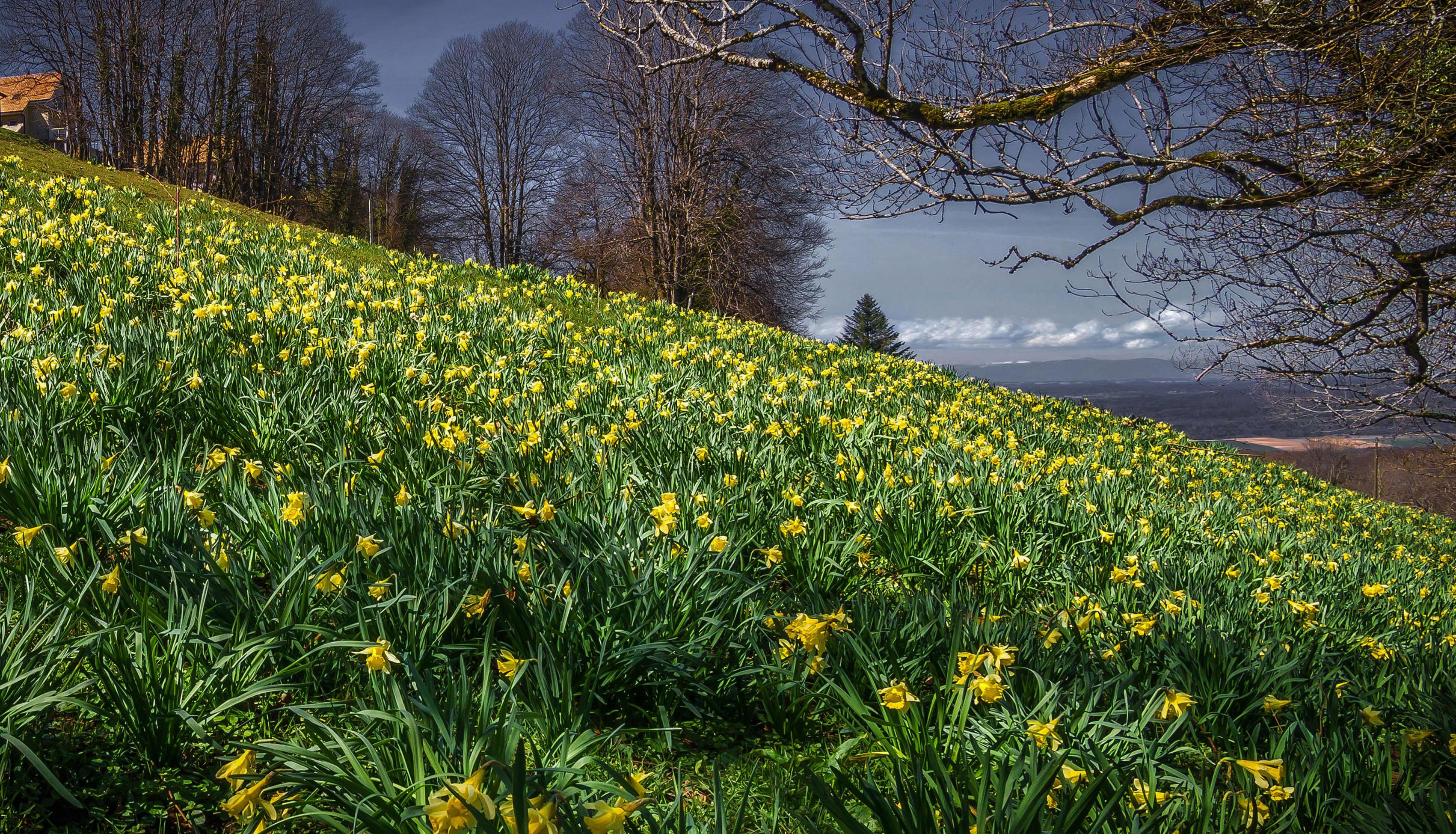daffodils-photo-12