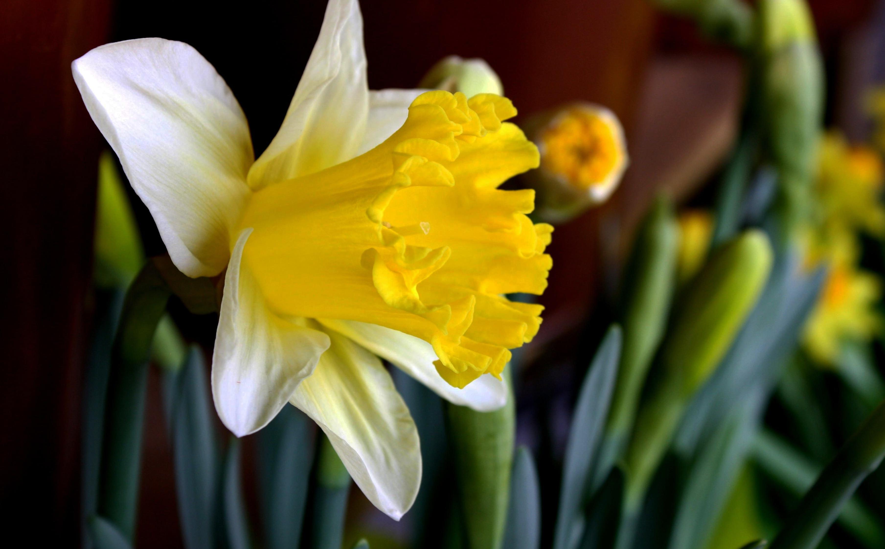 daffodils-photo-13