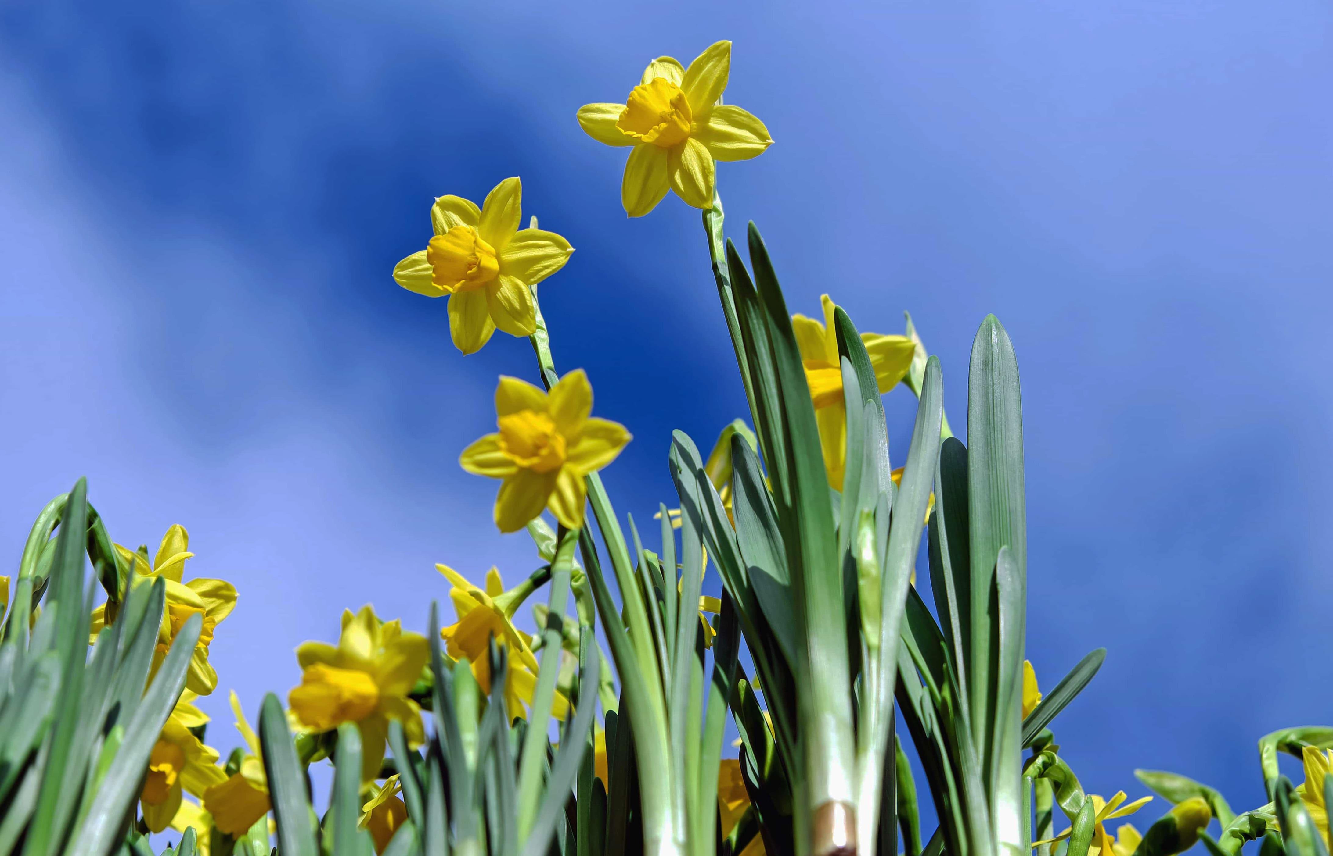daffodils-photo-14
