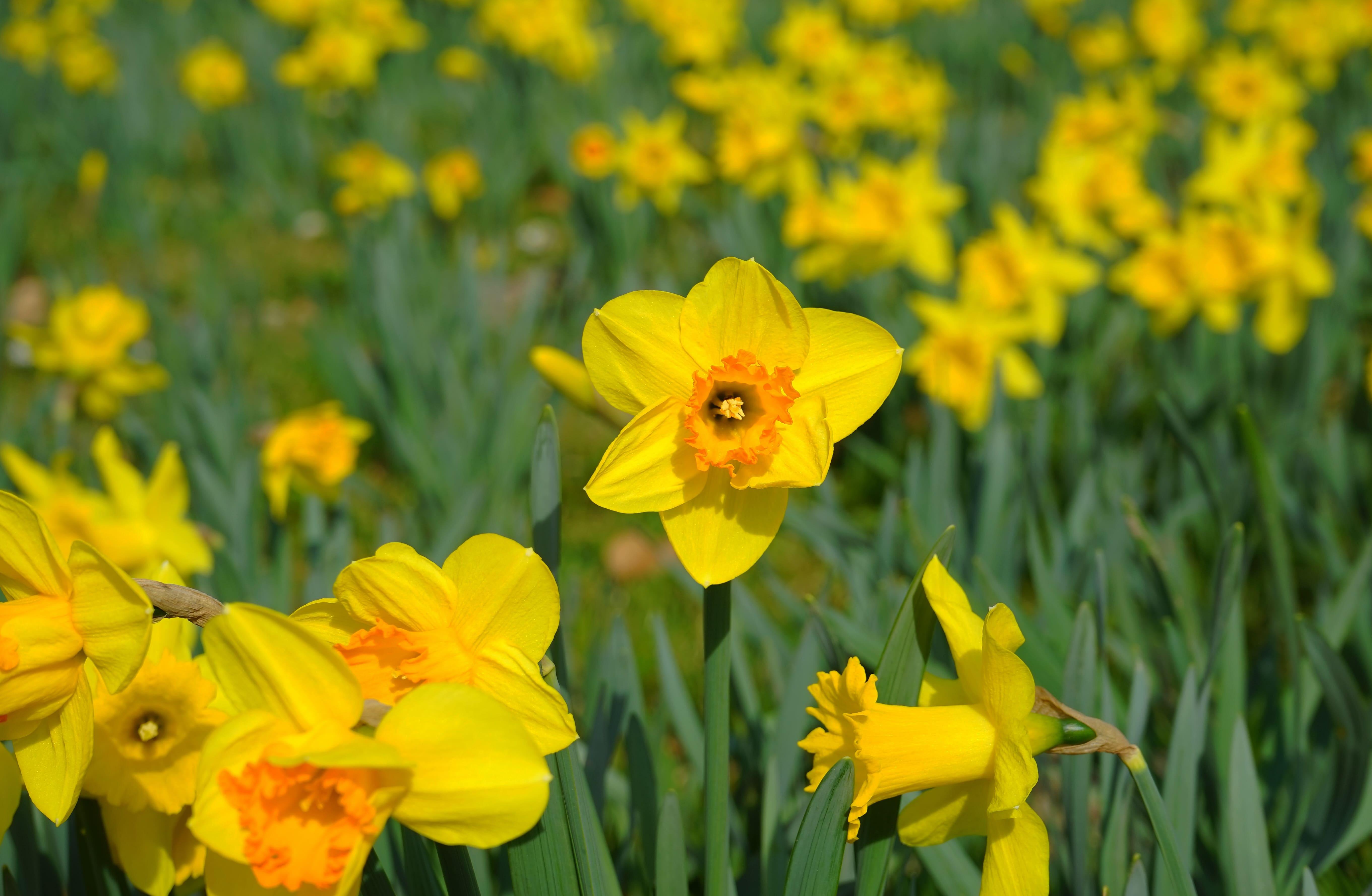 daffodils-photo-15