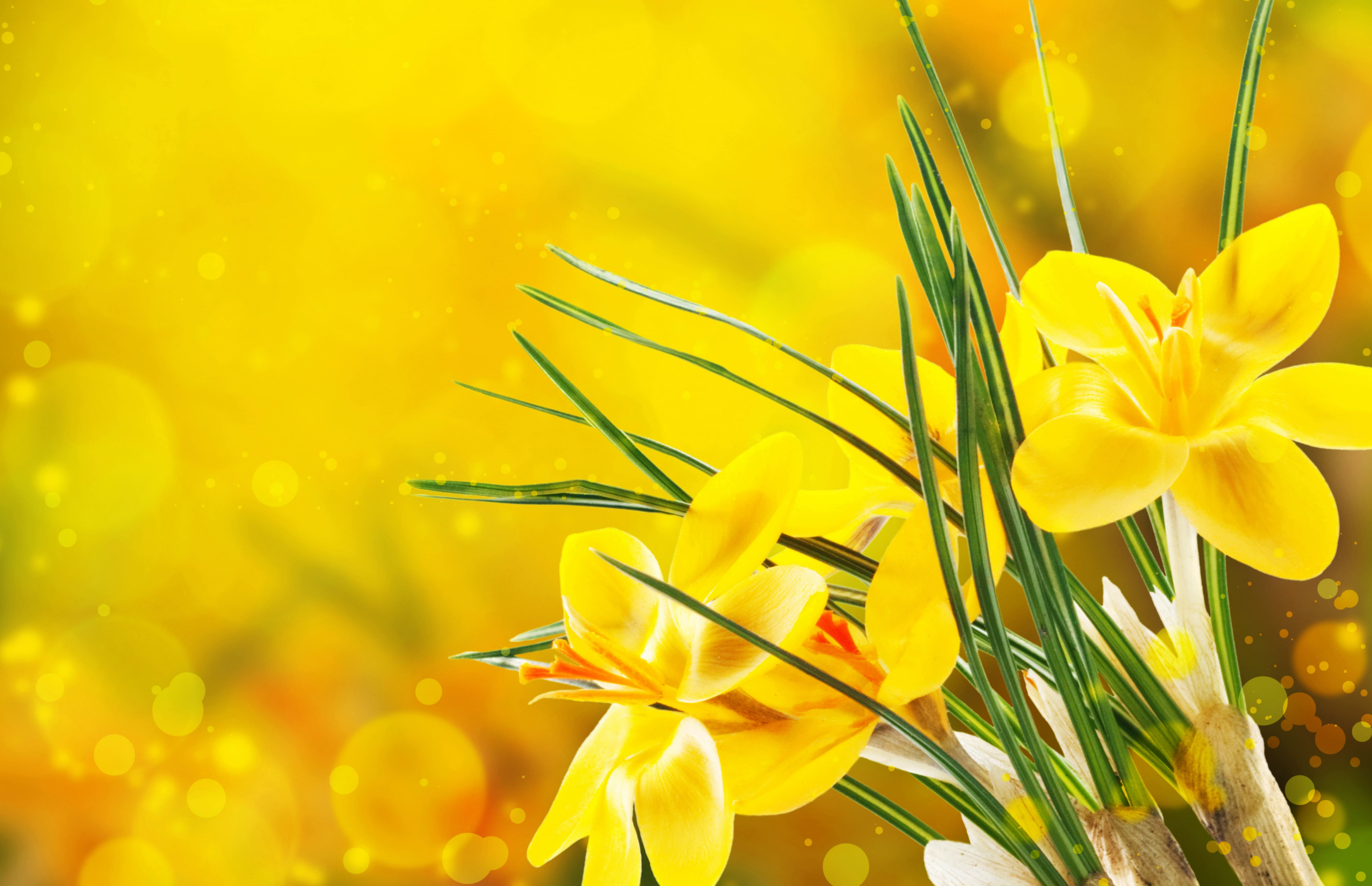 daffodils-photo-18