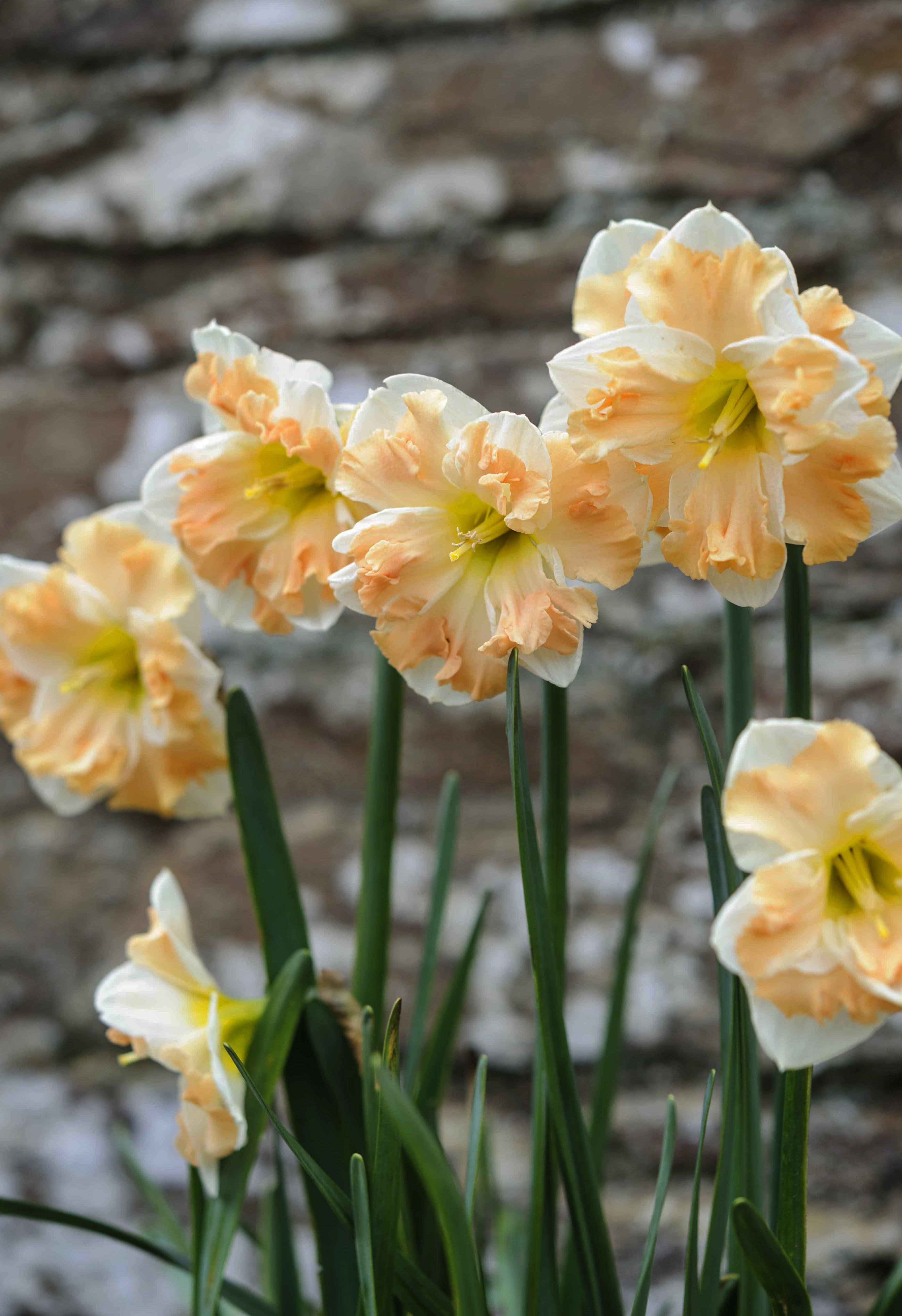 daffodils-photo-2