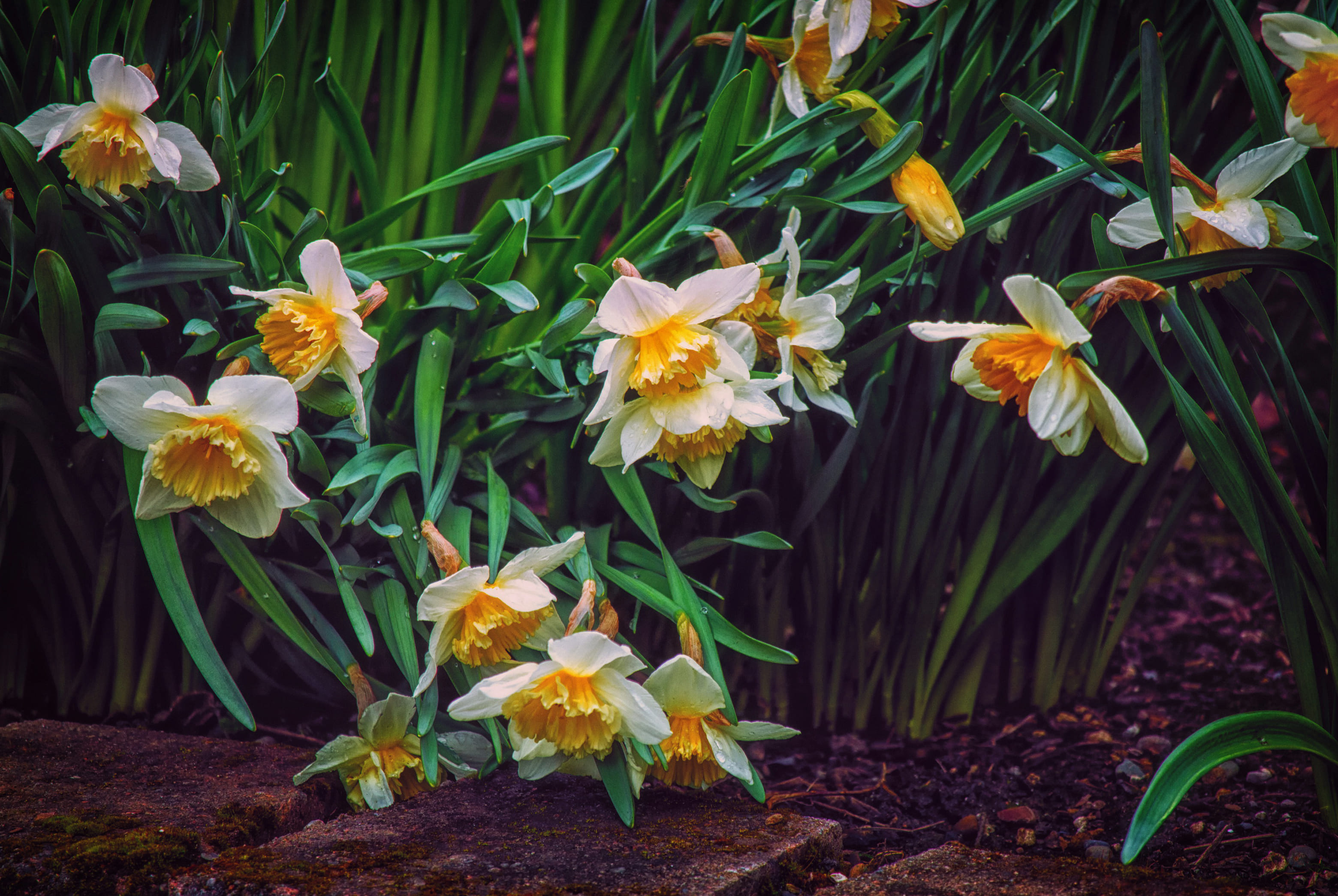 daffodils-photo-21