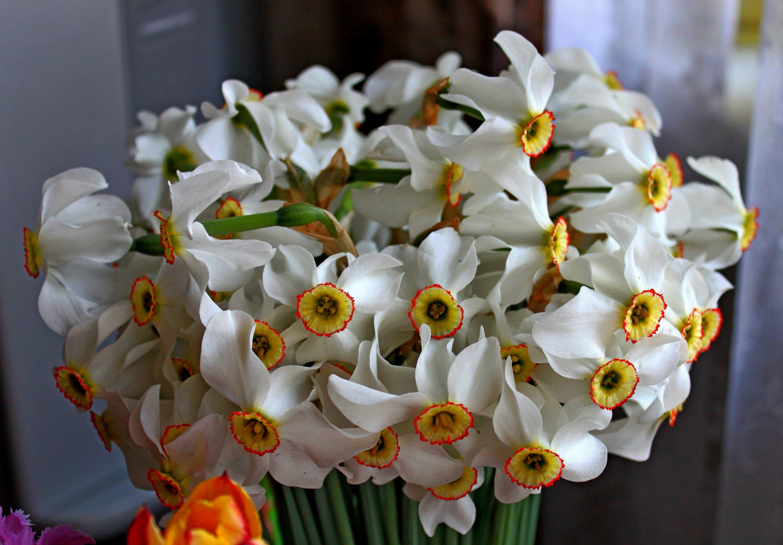 daffodils-photo-22