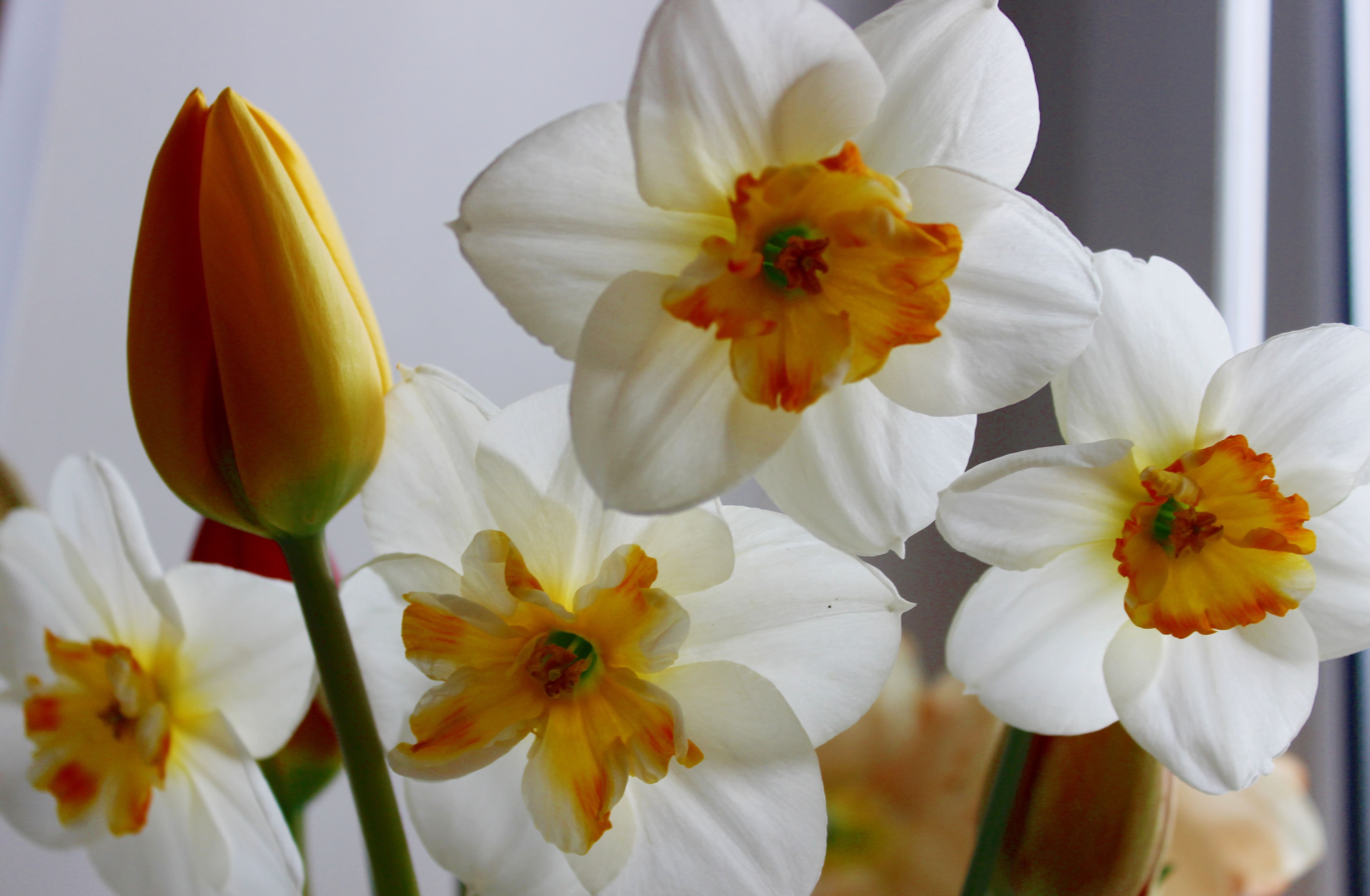 daffodils-photo-23