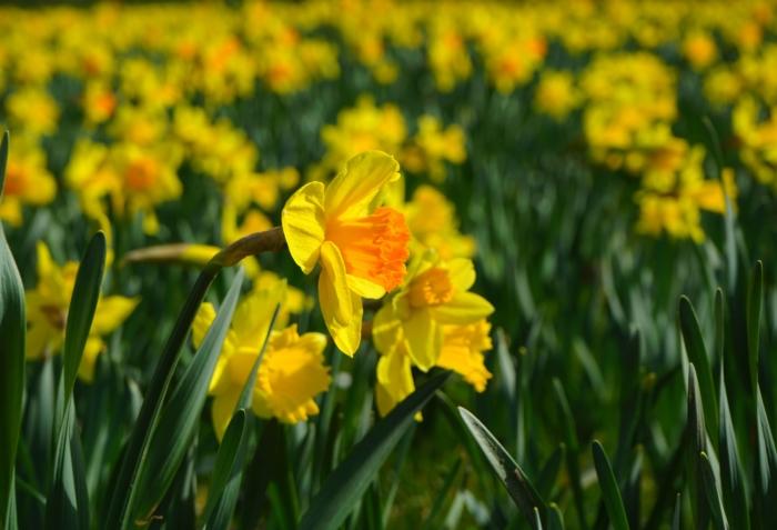 صور جميلة من أزهار النرجس، مئات الصور عالية الدقة
