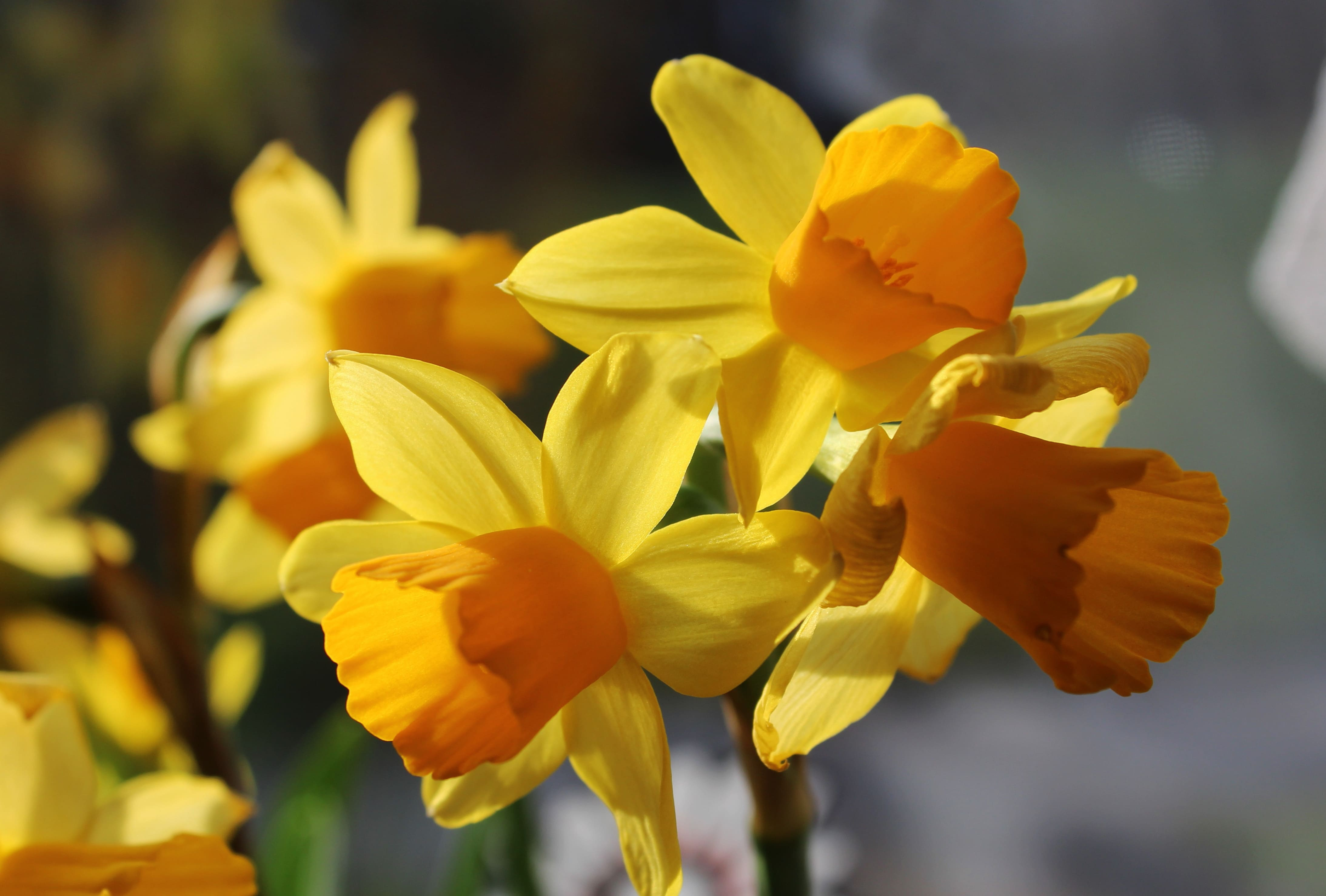 daffodils-photo-25