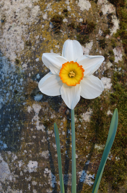 daffodils-photo-26