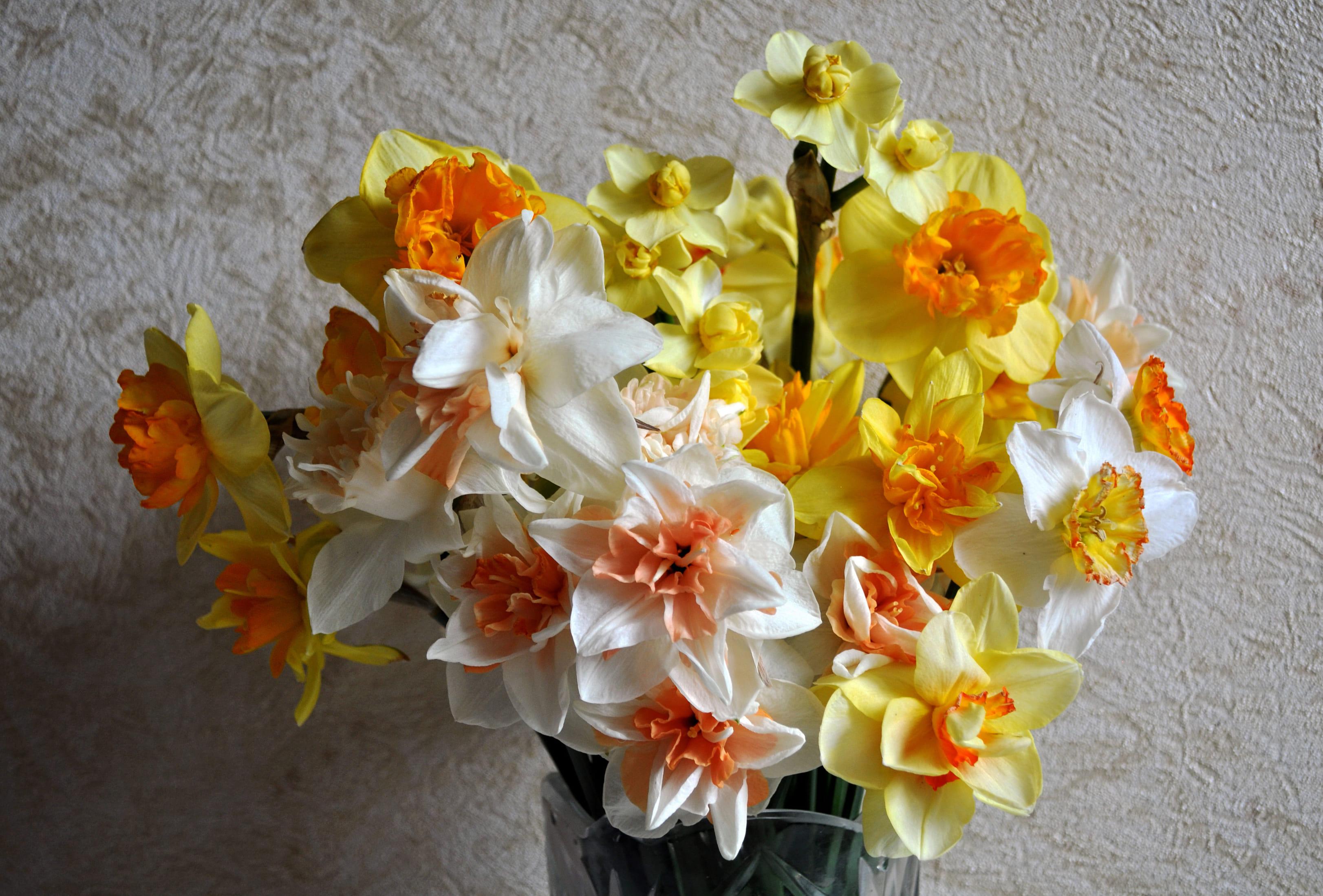 daffodils-photo-27