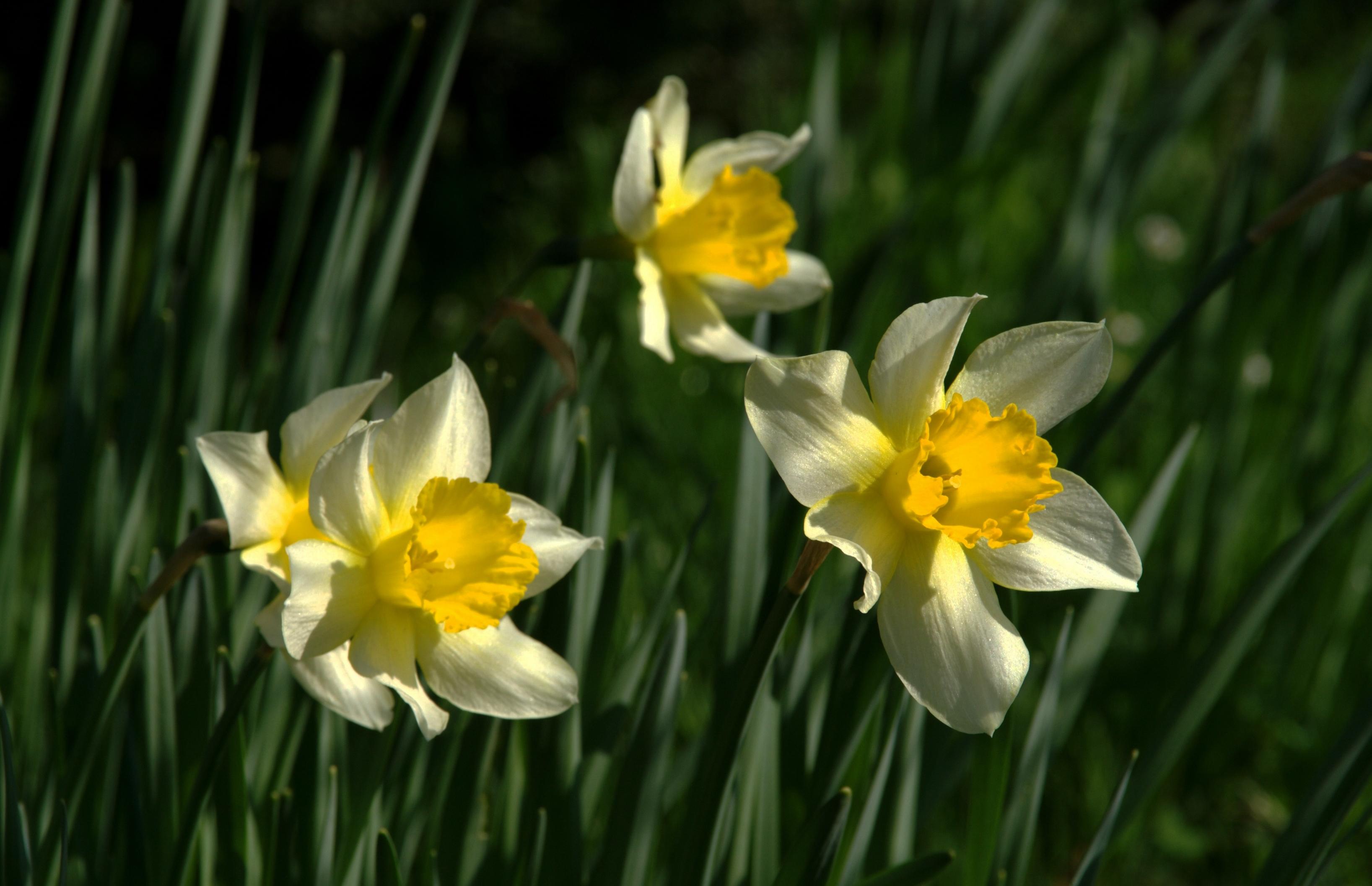 daffodils-photo-30