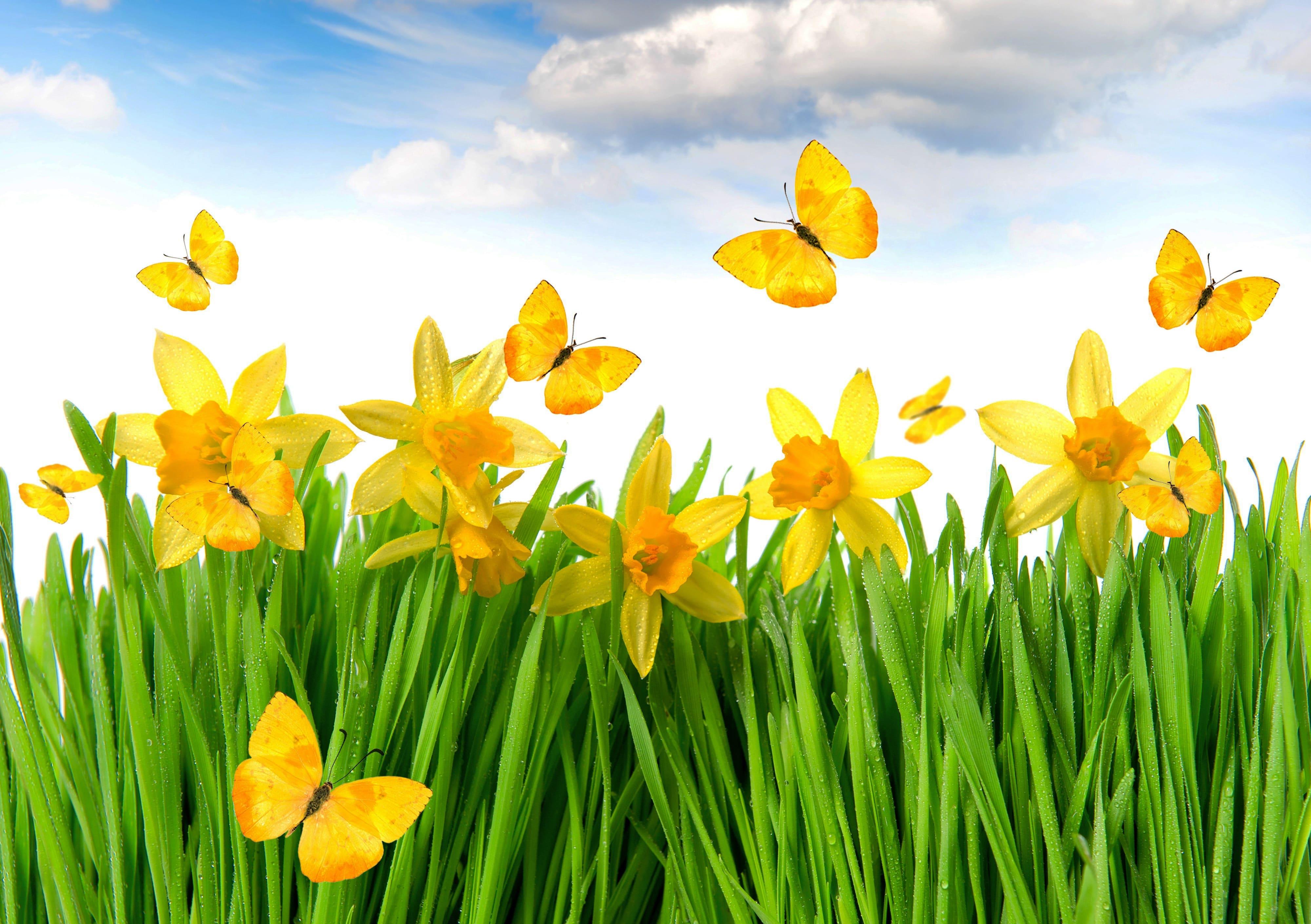 daffodils-photo-38