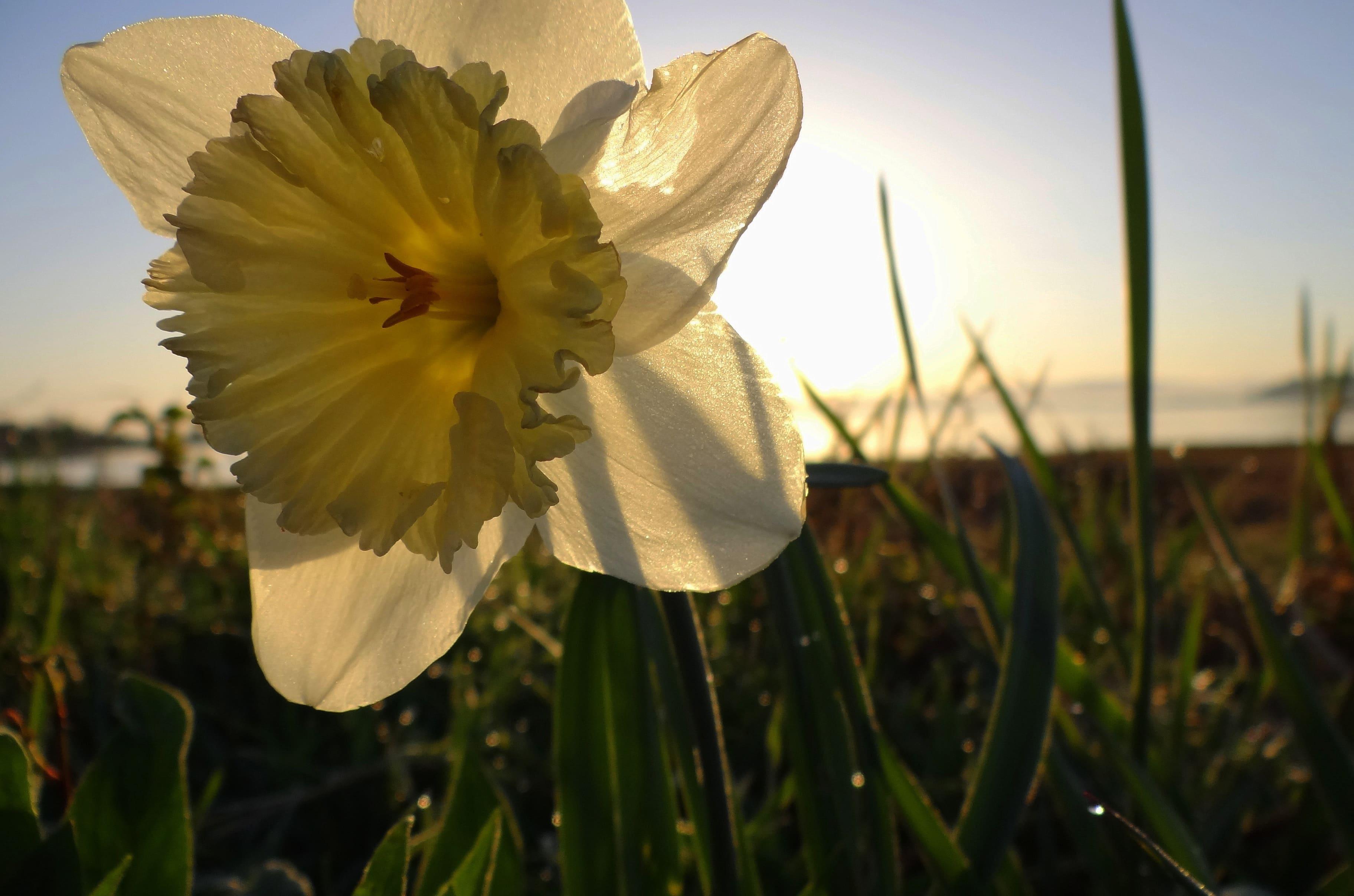 daffodils-photo-39