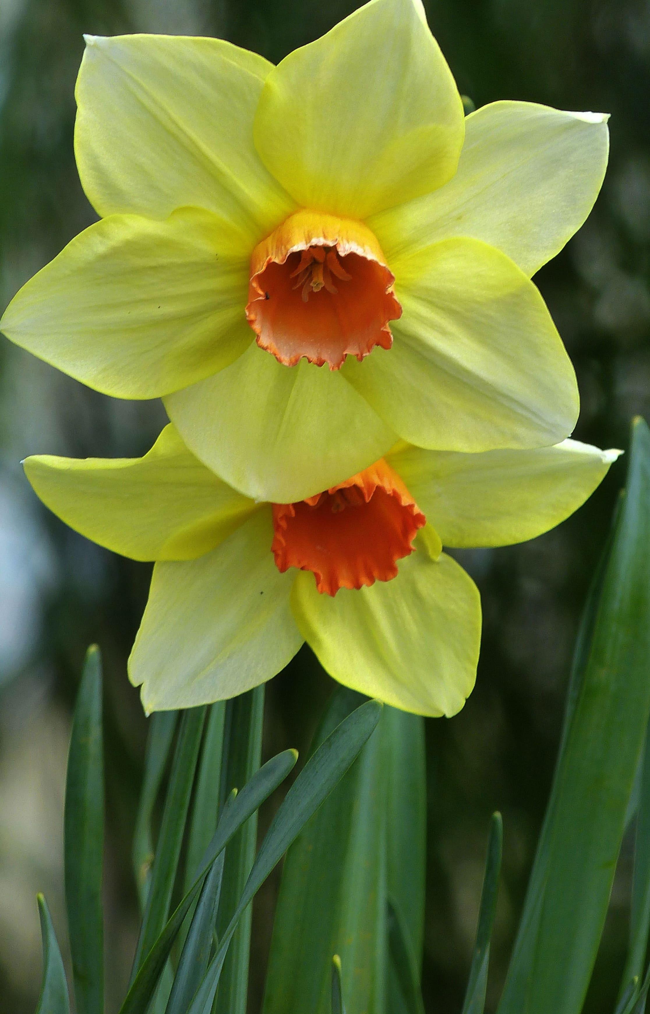 daffodils-photo-4